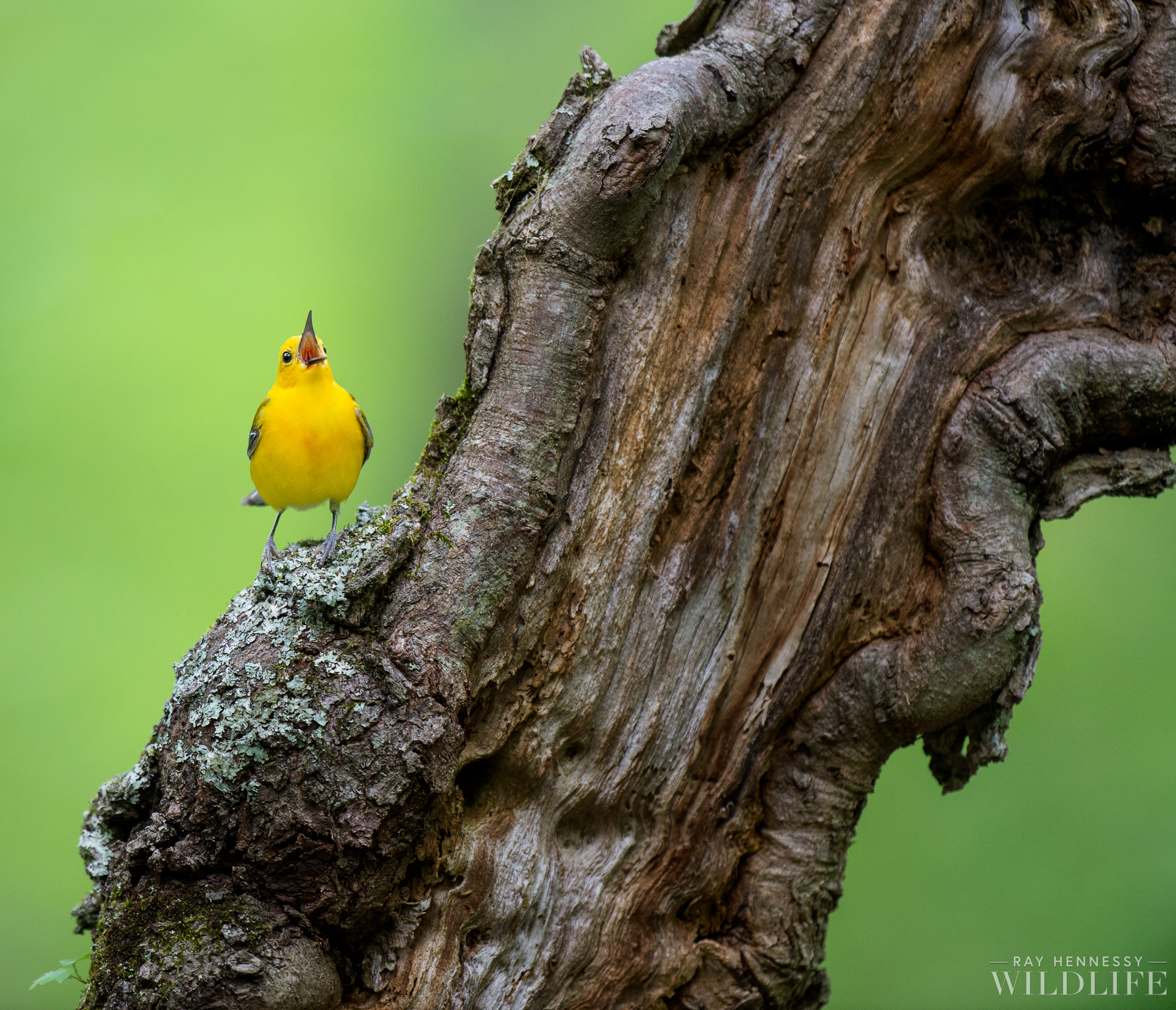 003_Prothonotary Warbler.jpg