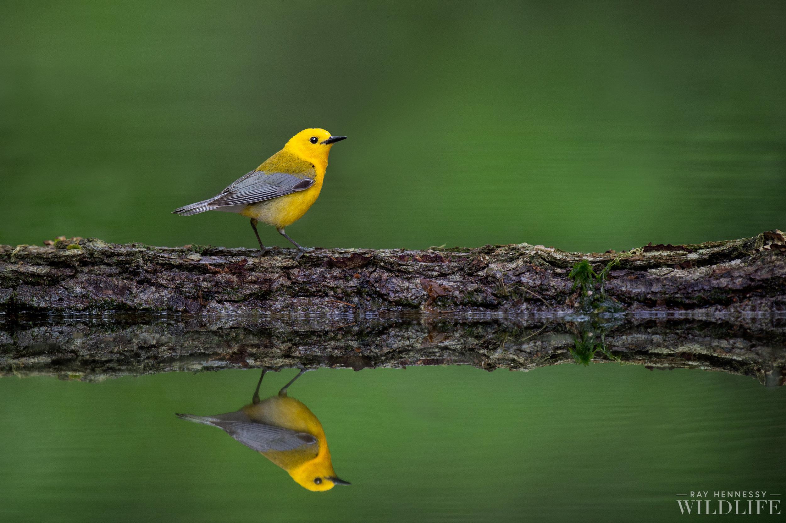 005_Prothonotary Warbler.jpg