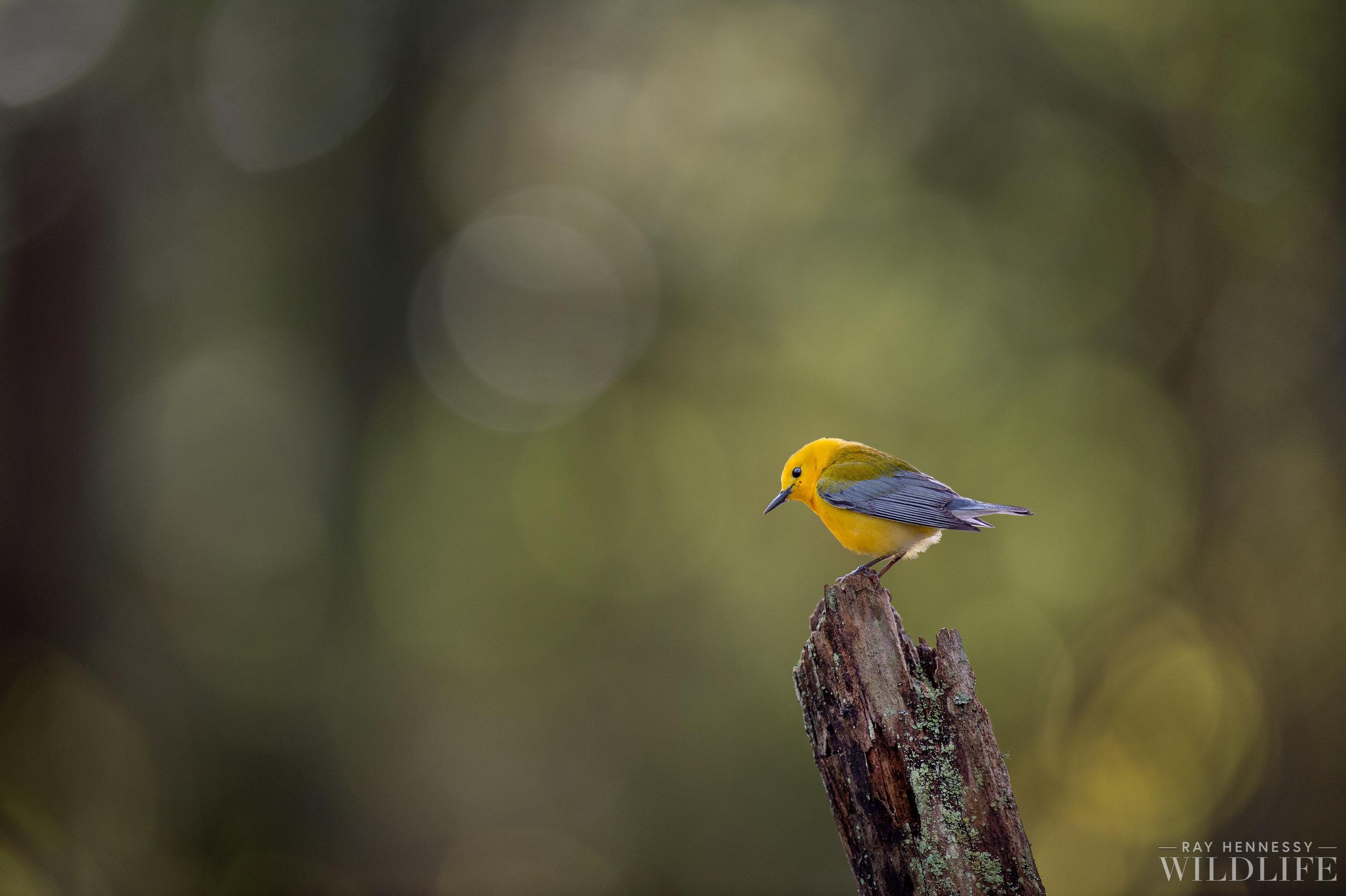 008_Prothonotary Warbler.jpg