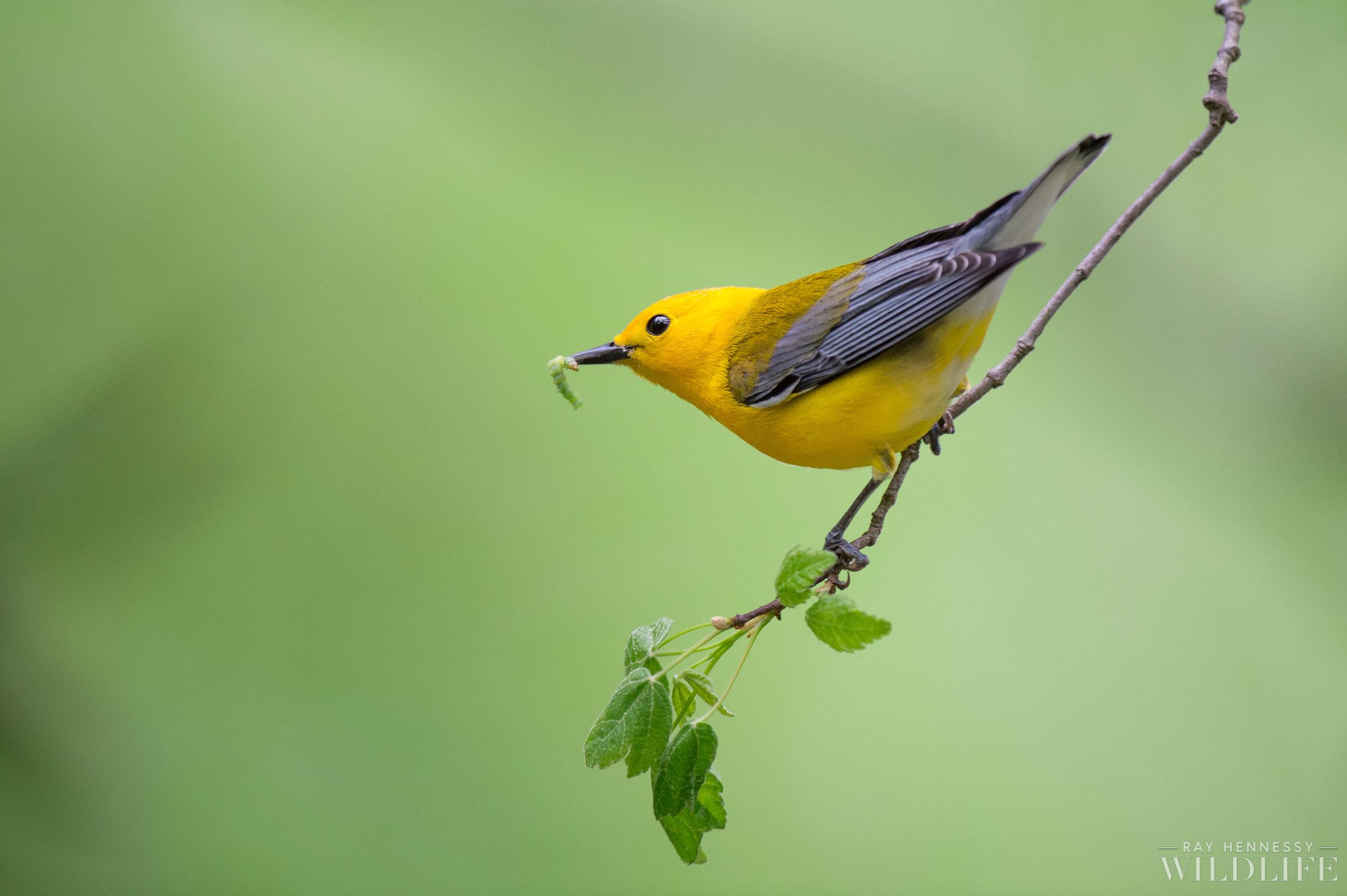 010_Prothonotary Warbler.jpg