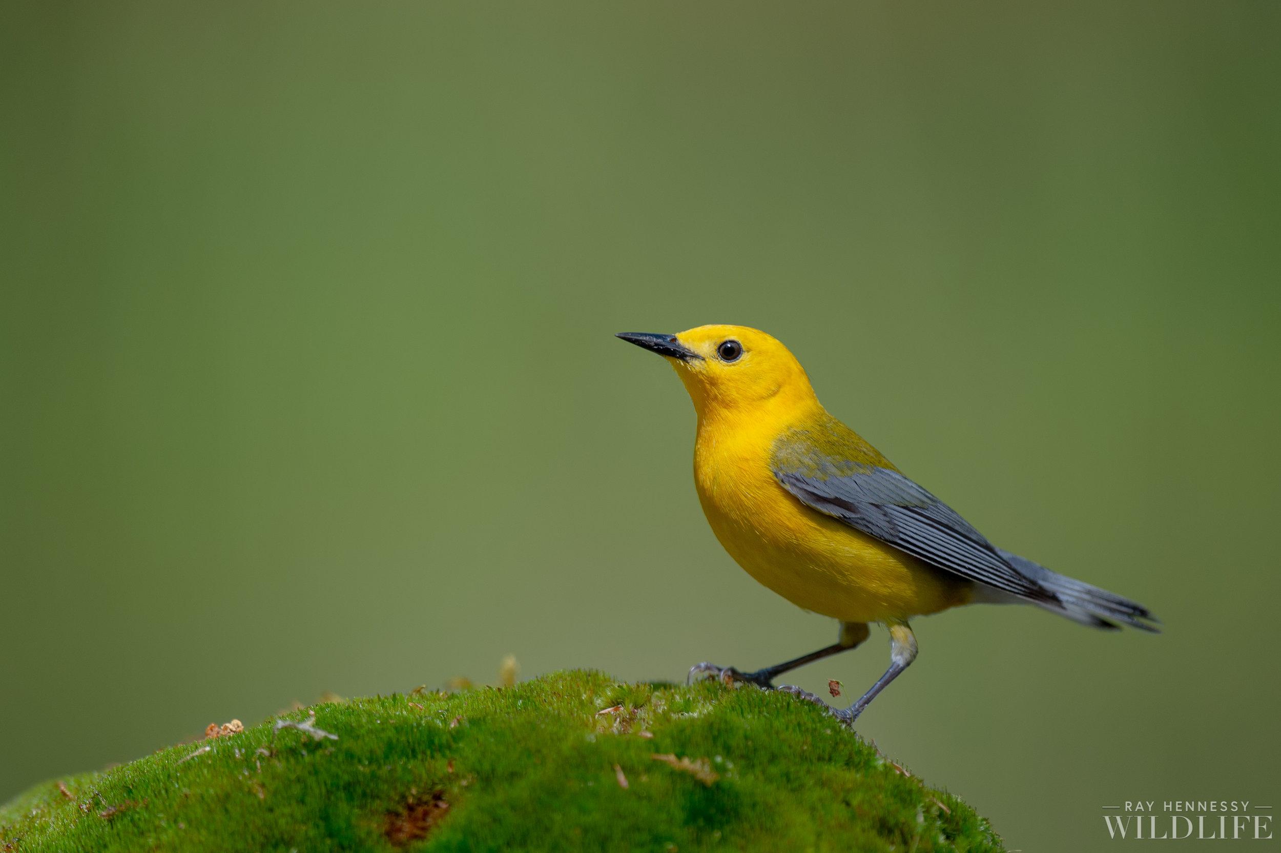 009_Prothonotary Warbler.jpg