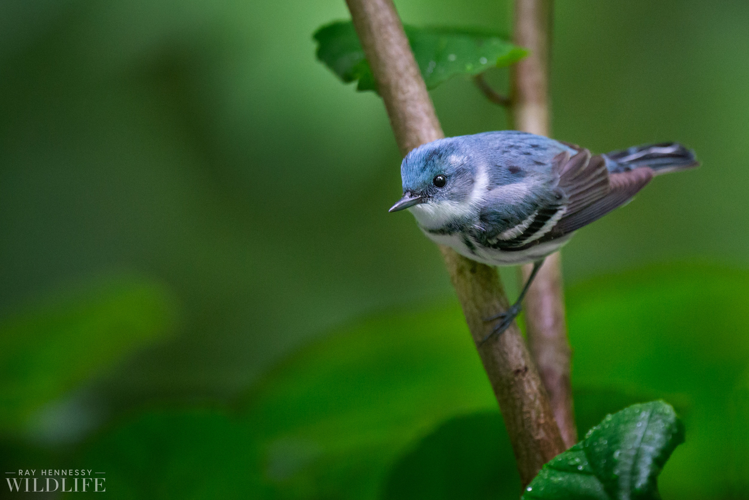 001_Cerulean Warbler.jpg