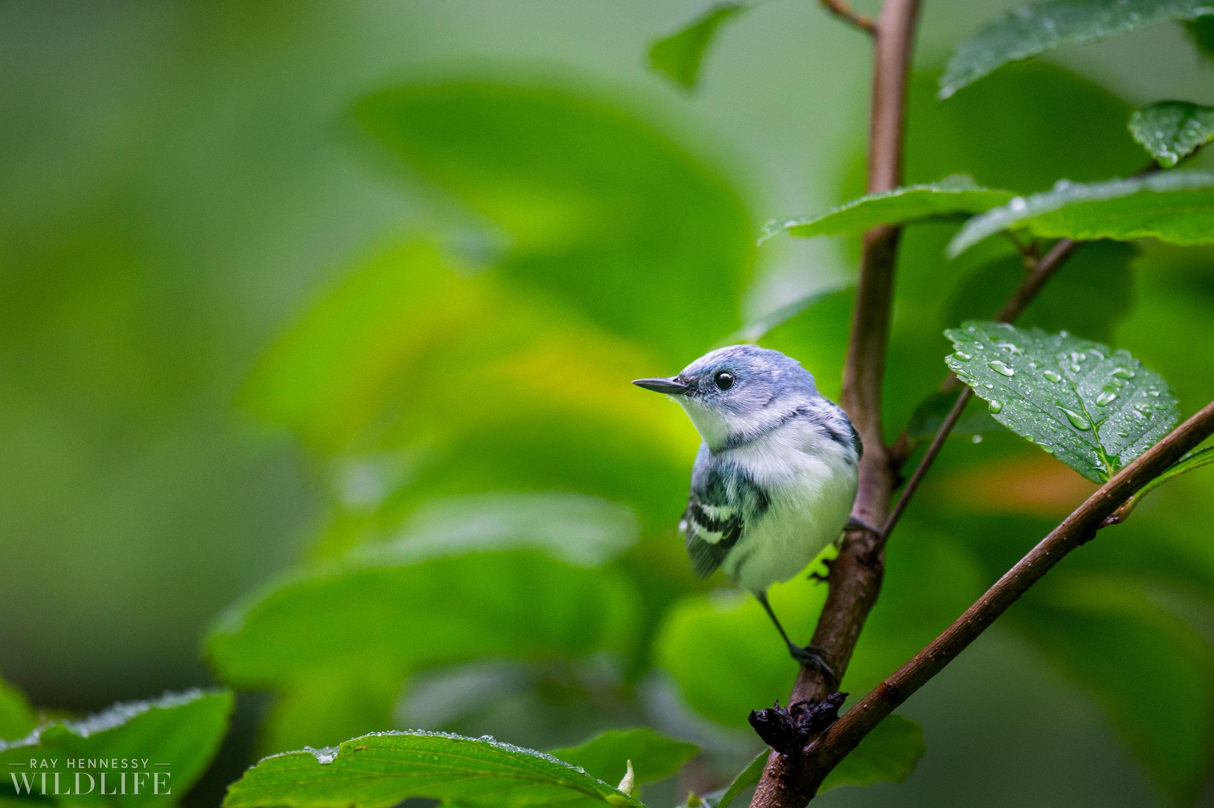 005_Cerulean Warbler.jpg
