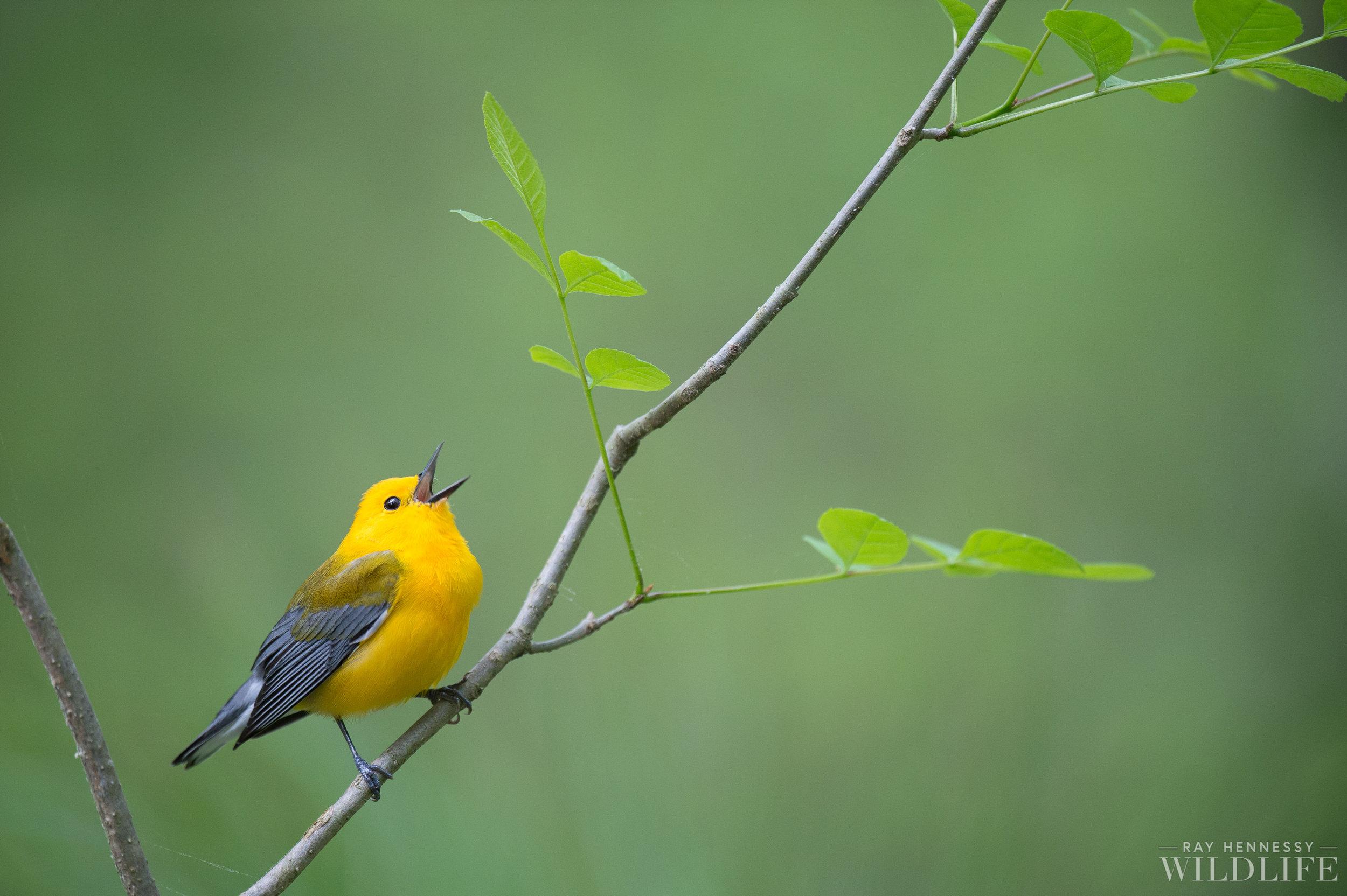 001_Prothonotary Warbler.jpg