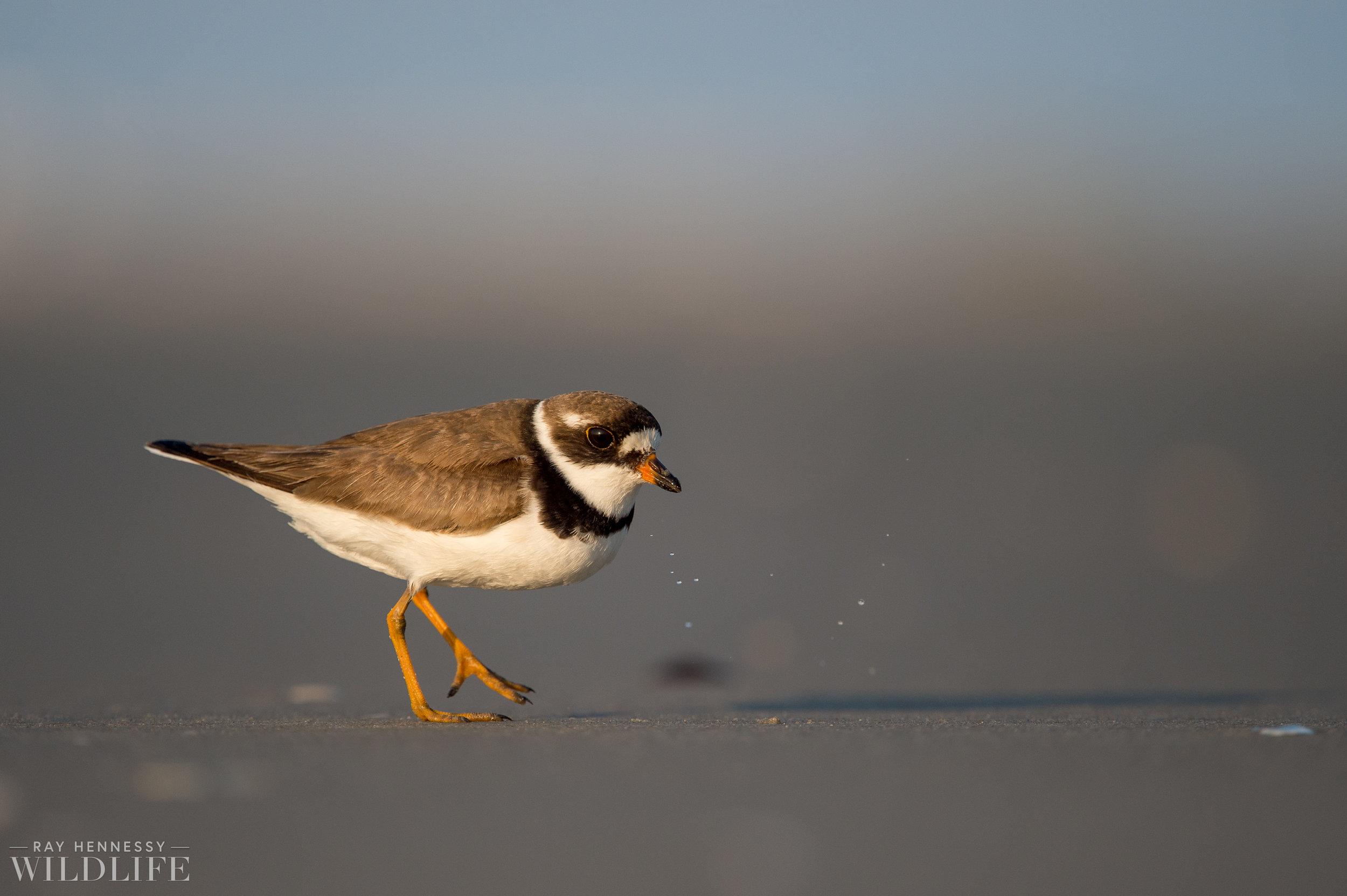 005_fall shorebirds.jpg