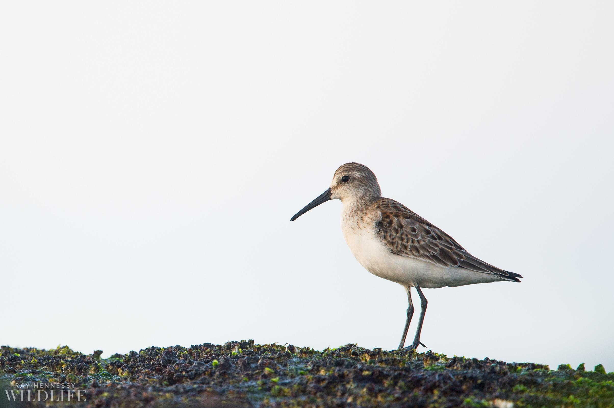 010_fall shorebirds.jpg