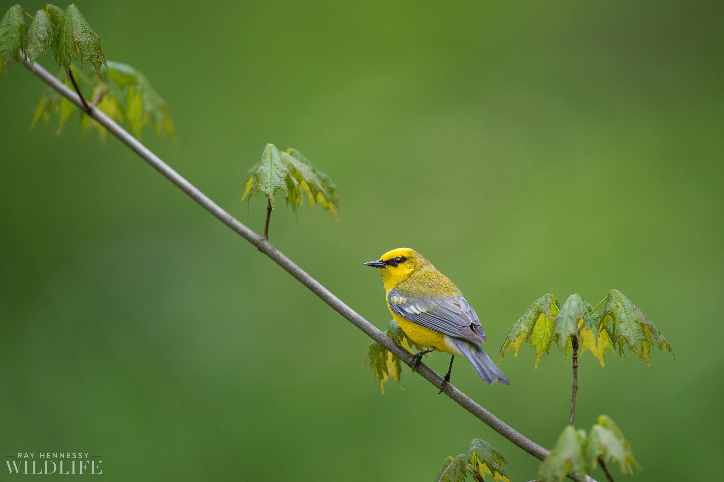 001_blue-winged-warbler.jpg