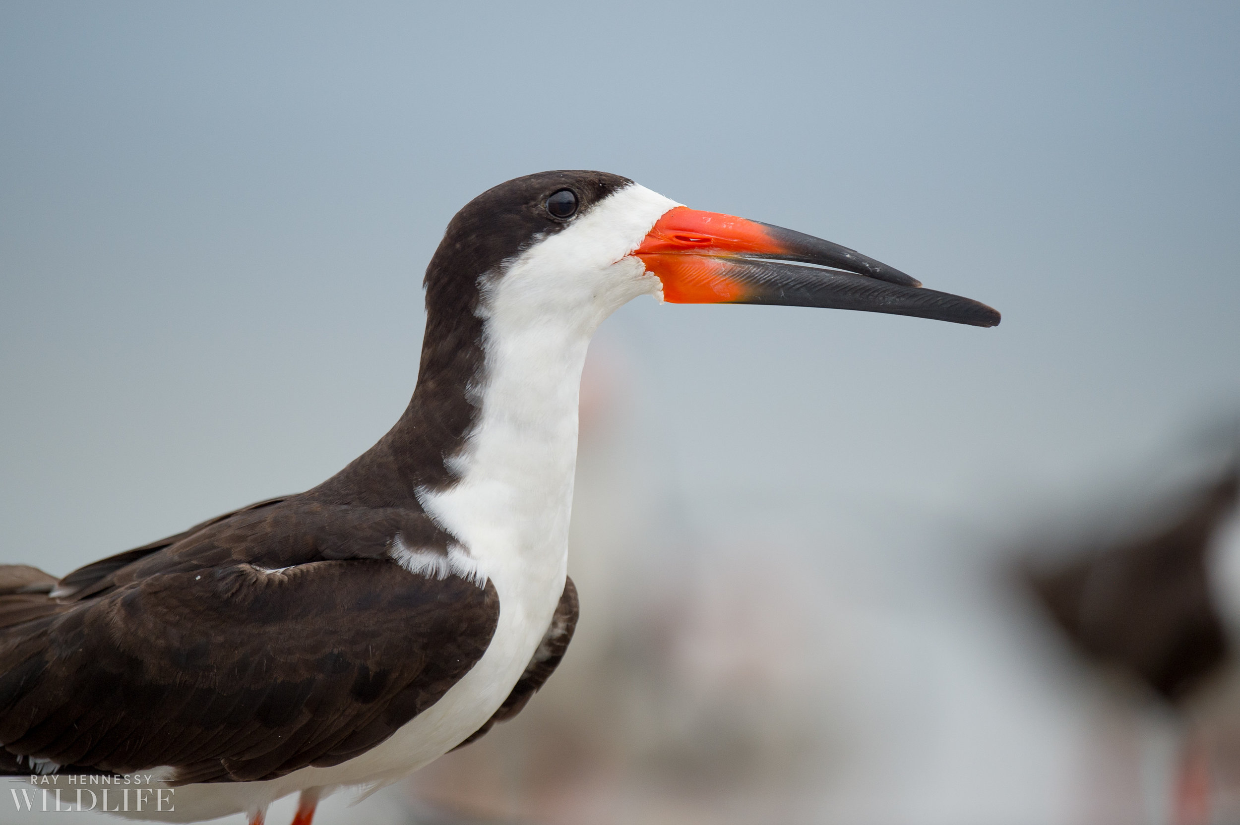 Late Season Black Skimmer Colony - A Day Outing — Ray