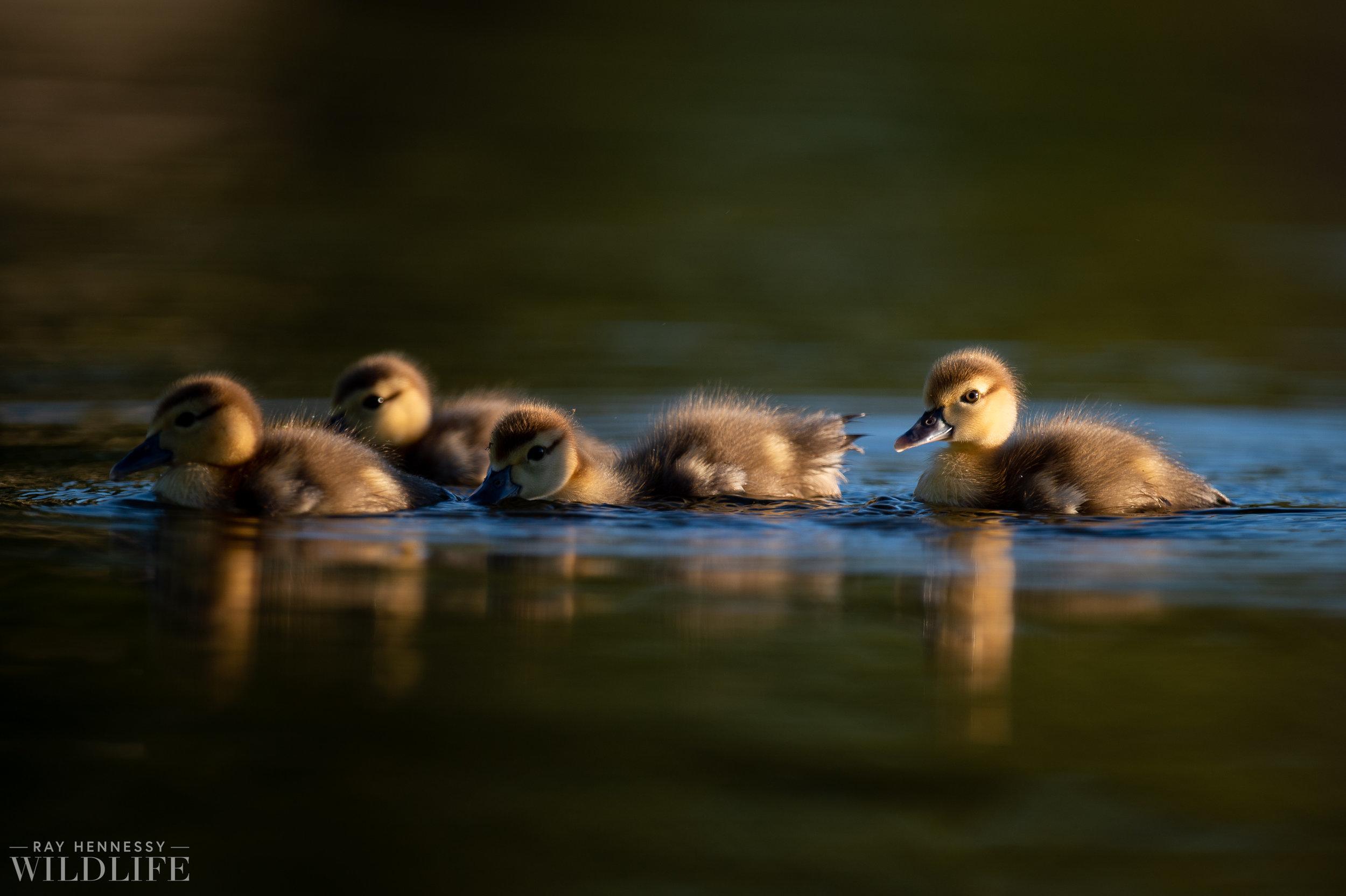 001_goslings-white-ibis-florida.jpg