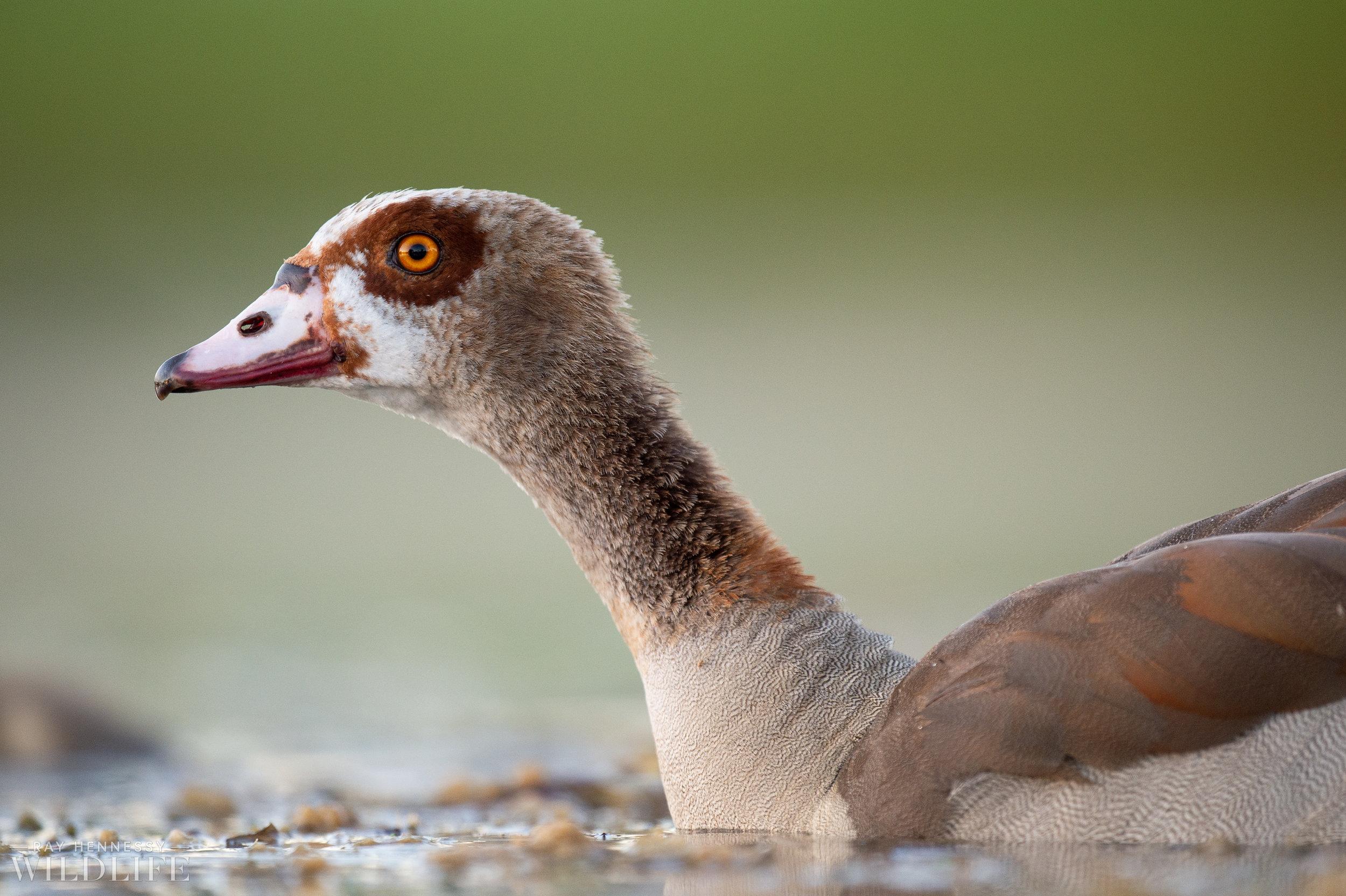 003_goslings-white-ibis-florida.jpg