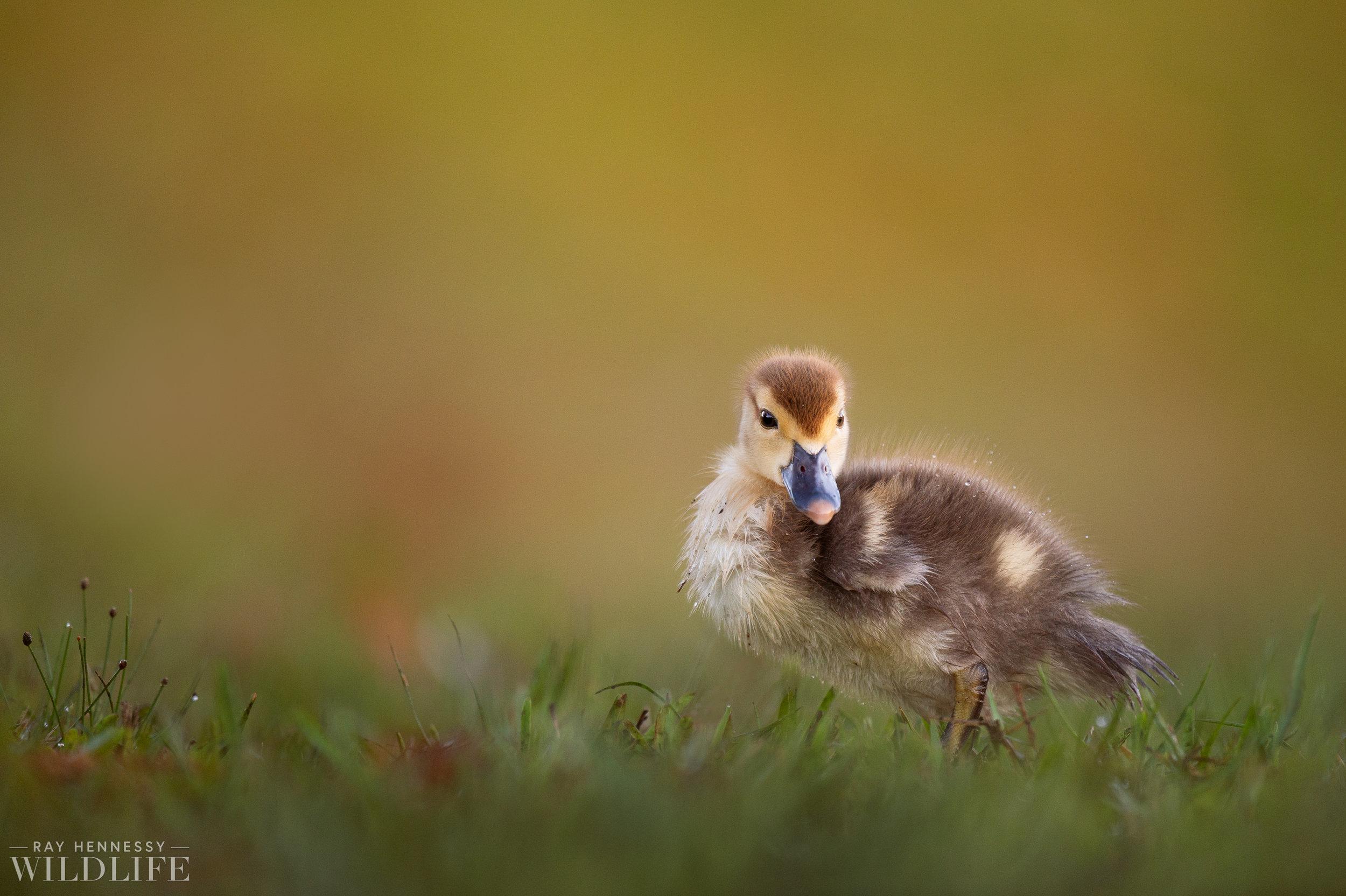 004_goslings-white-ibis-florida.jpg