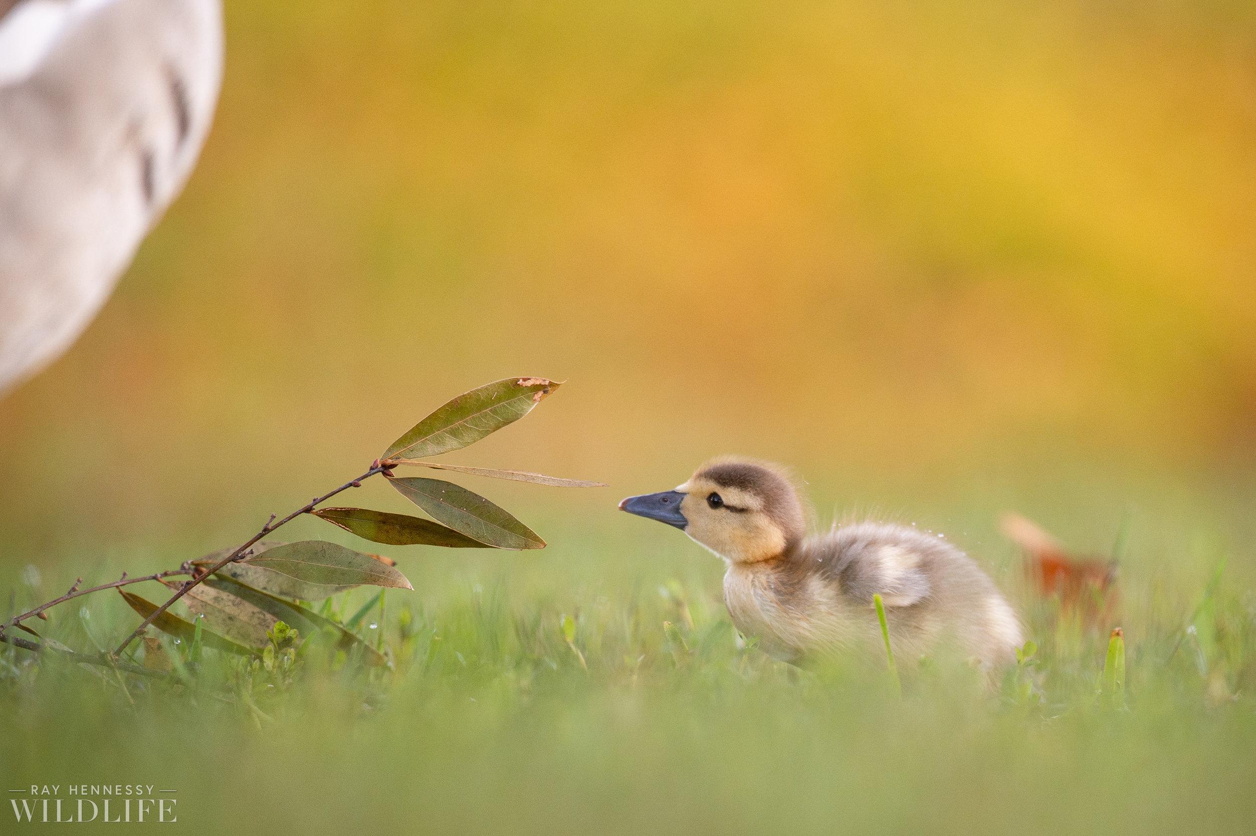 005_goslings-white-ibis-florida.jpg