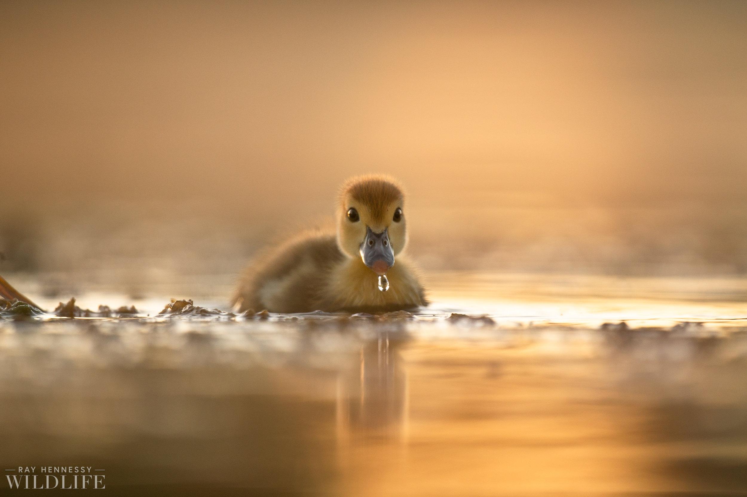 006_goslings-white-ibis-florida.jpg