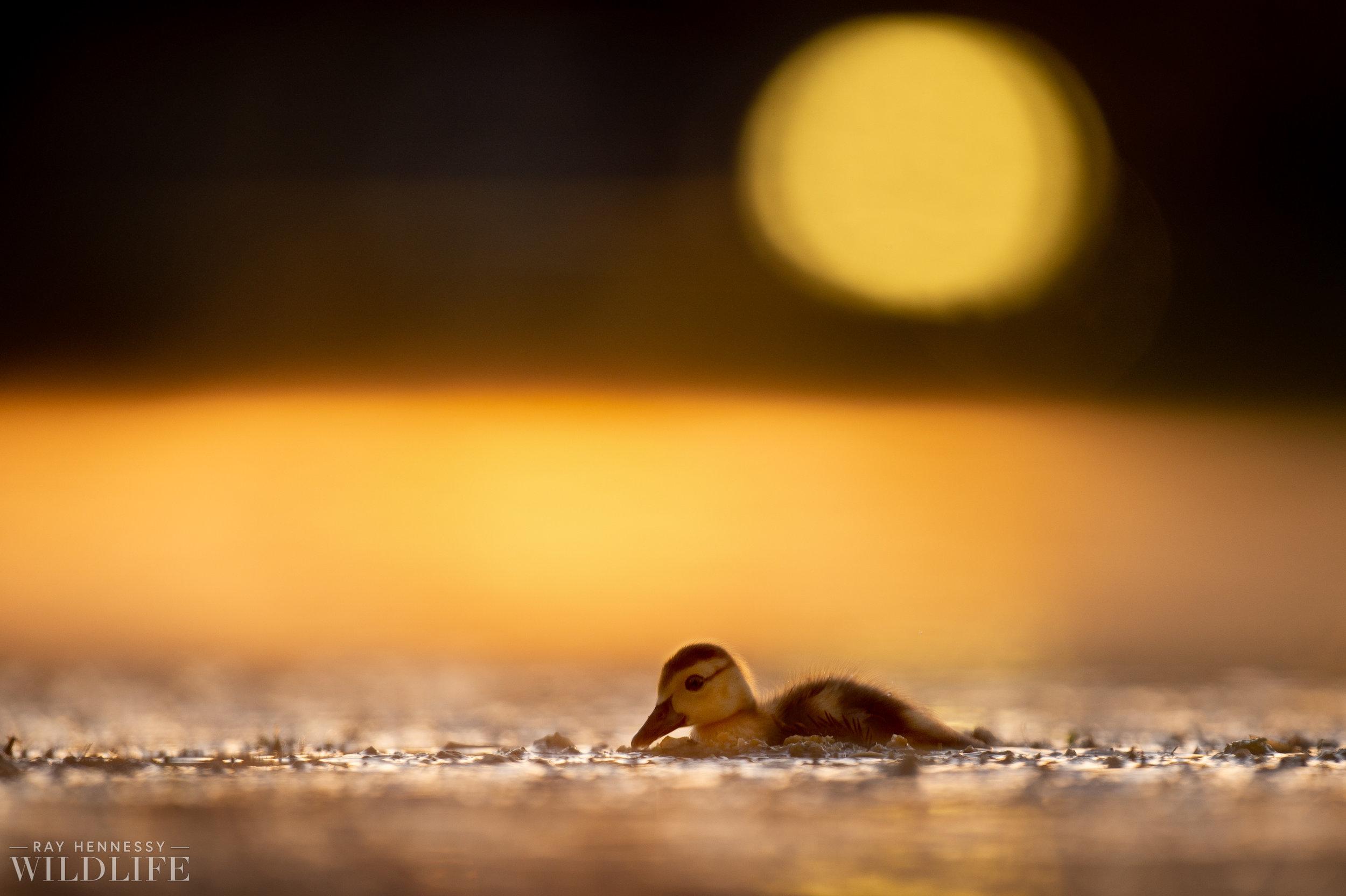 007_goslings-white-ibis-florida.jpg