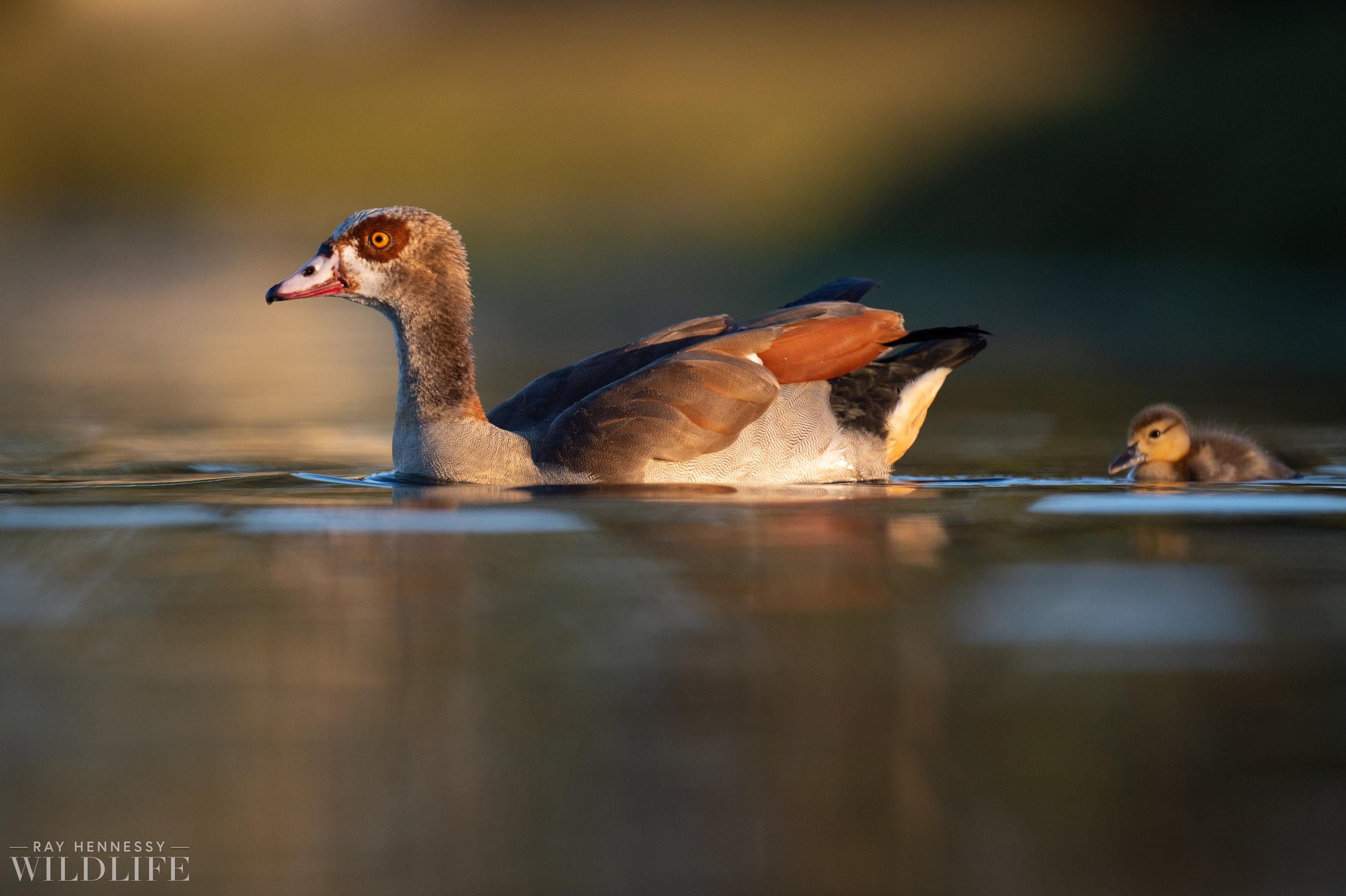 009_goslings-white-ibis-florida.jpg