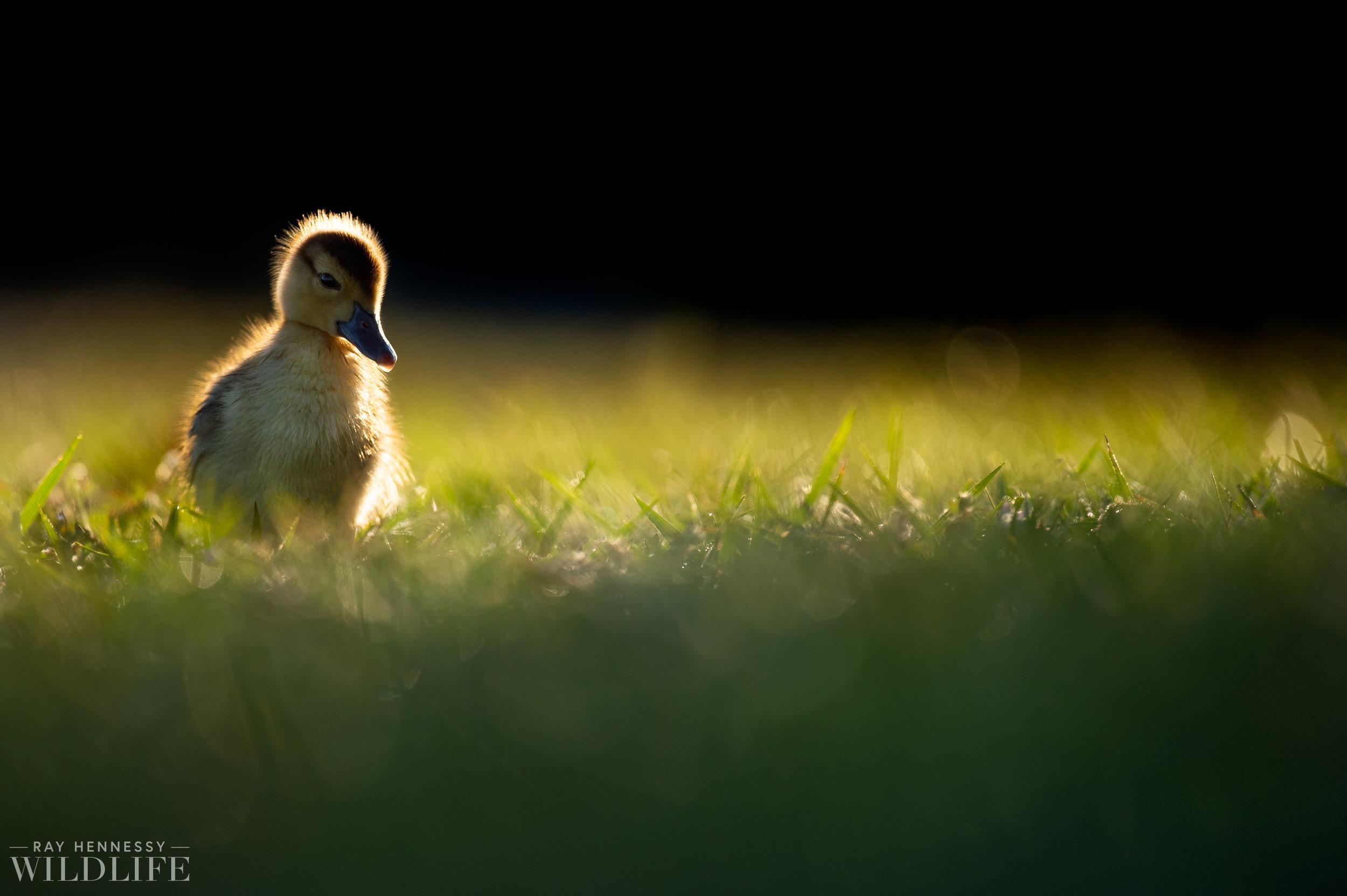 011_goslings-white-ibis-florida.jpg