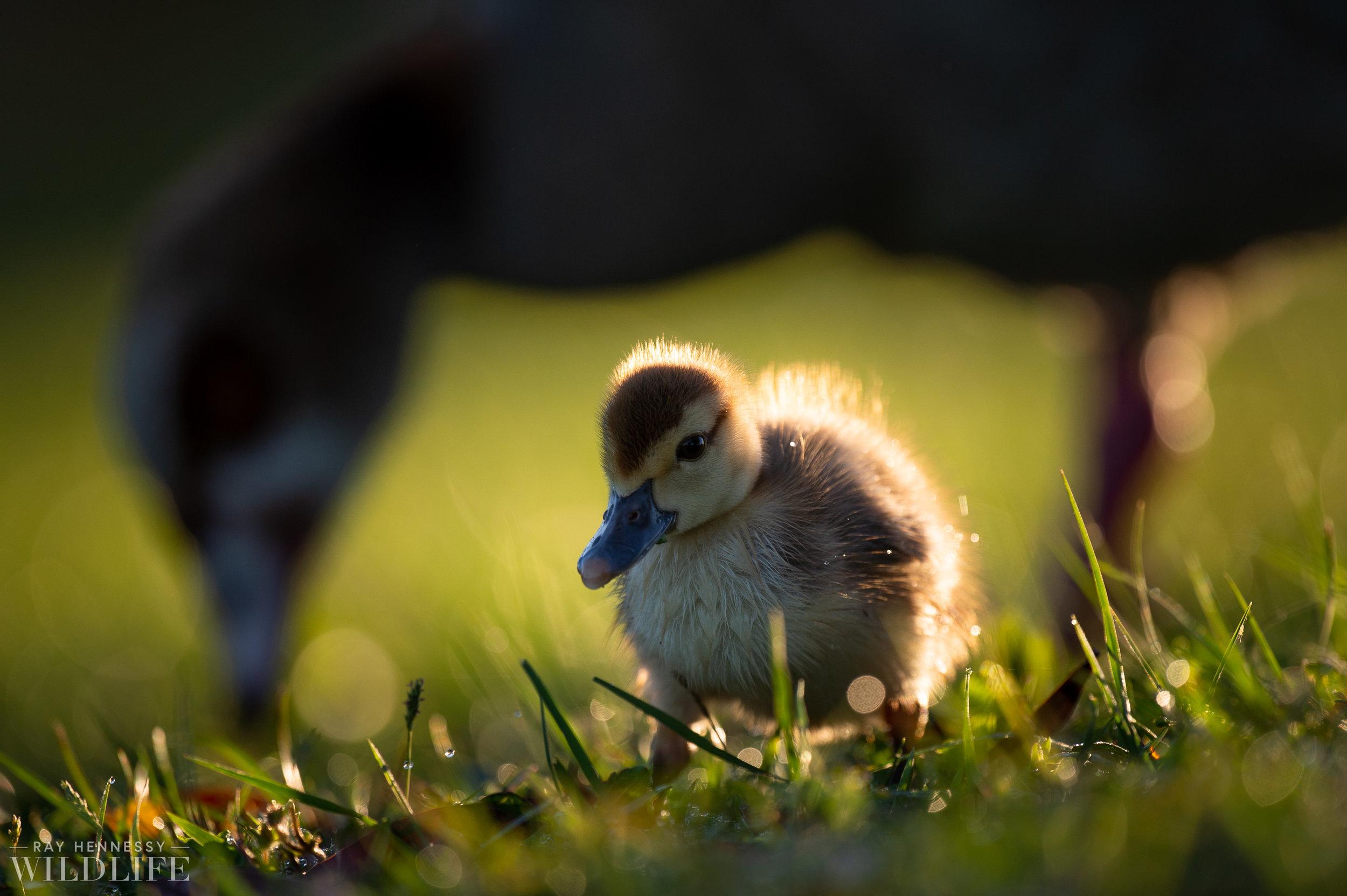 012_goslings-white-ibis-florida.jpg