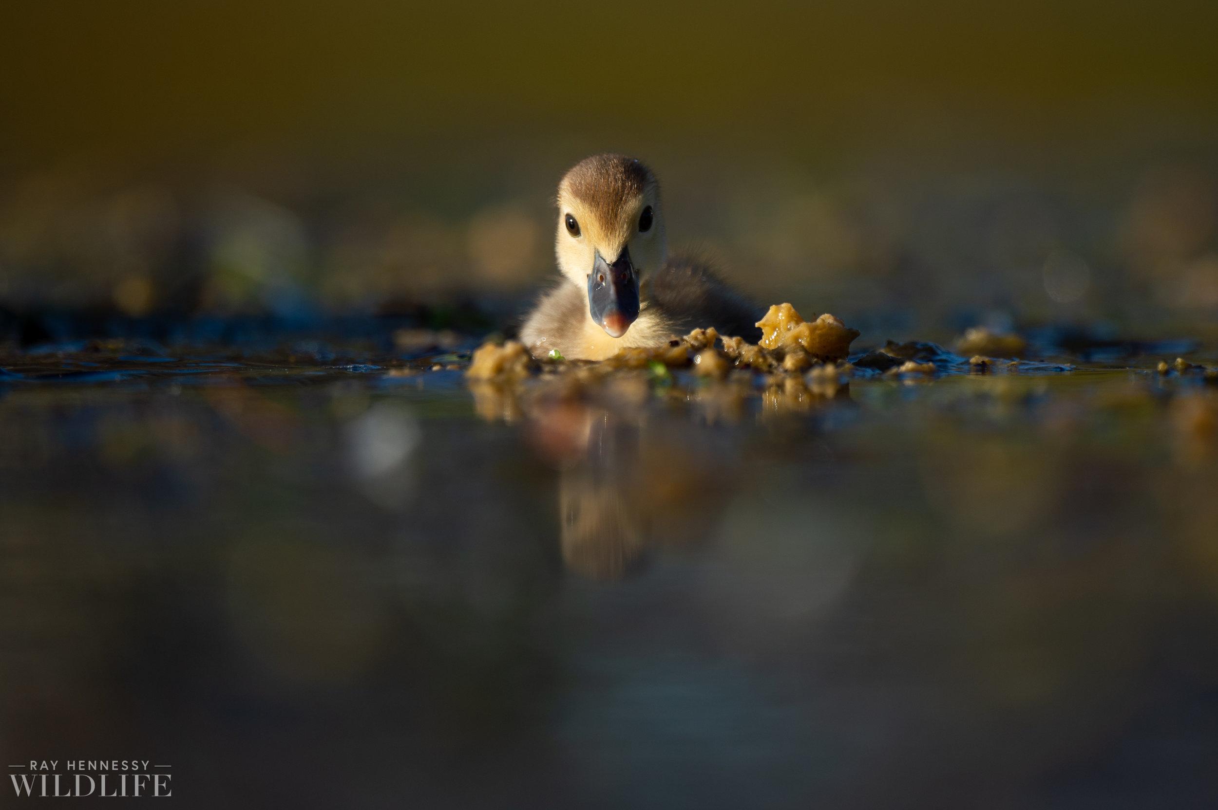 015_goslings-white-ibis-florida.jpg