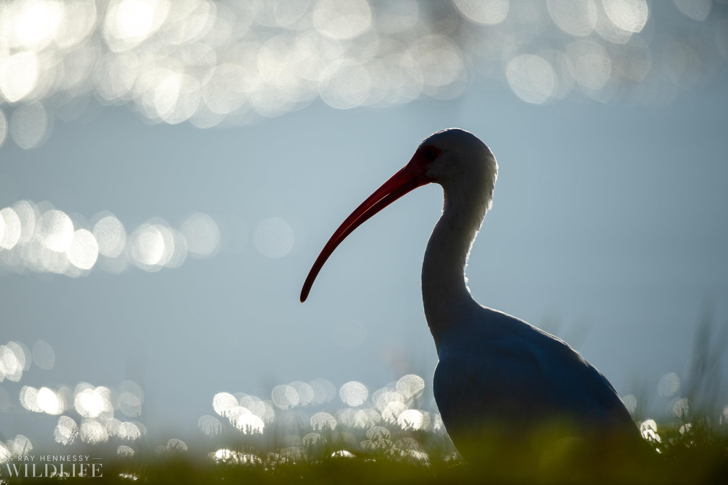 016_goslings-white-ibis-florida.jpg