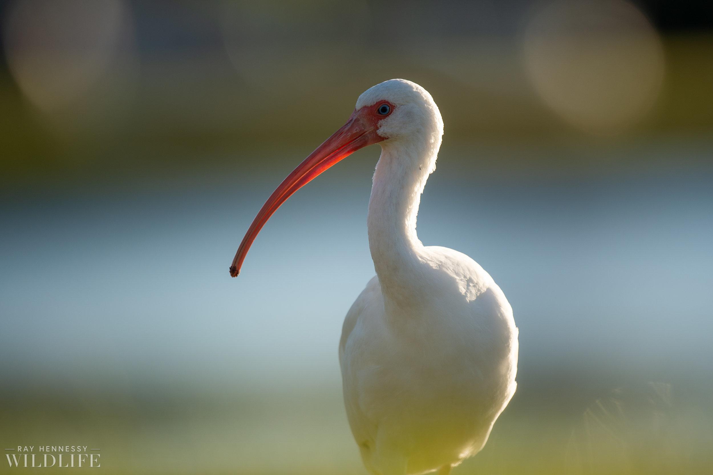 017_goslings-white-ibis-florida.jpg