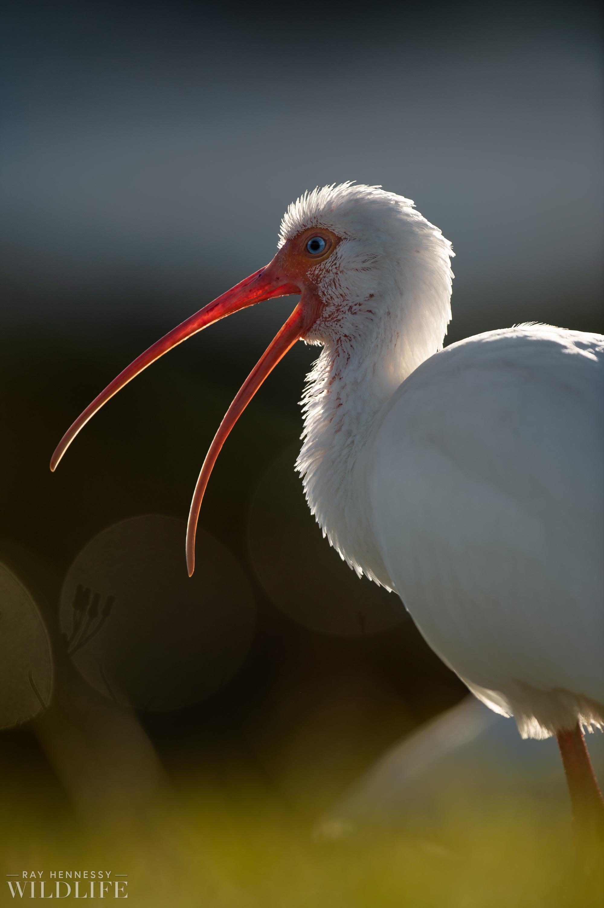 019_goslings-white-ibis-florida.jpg