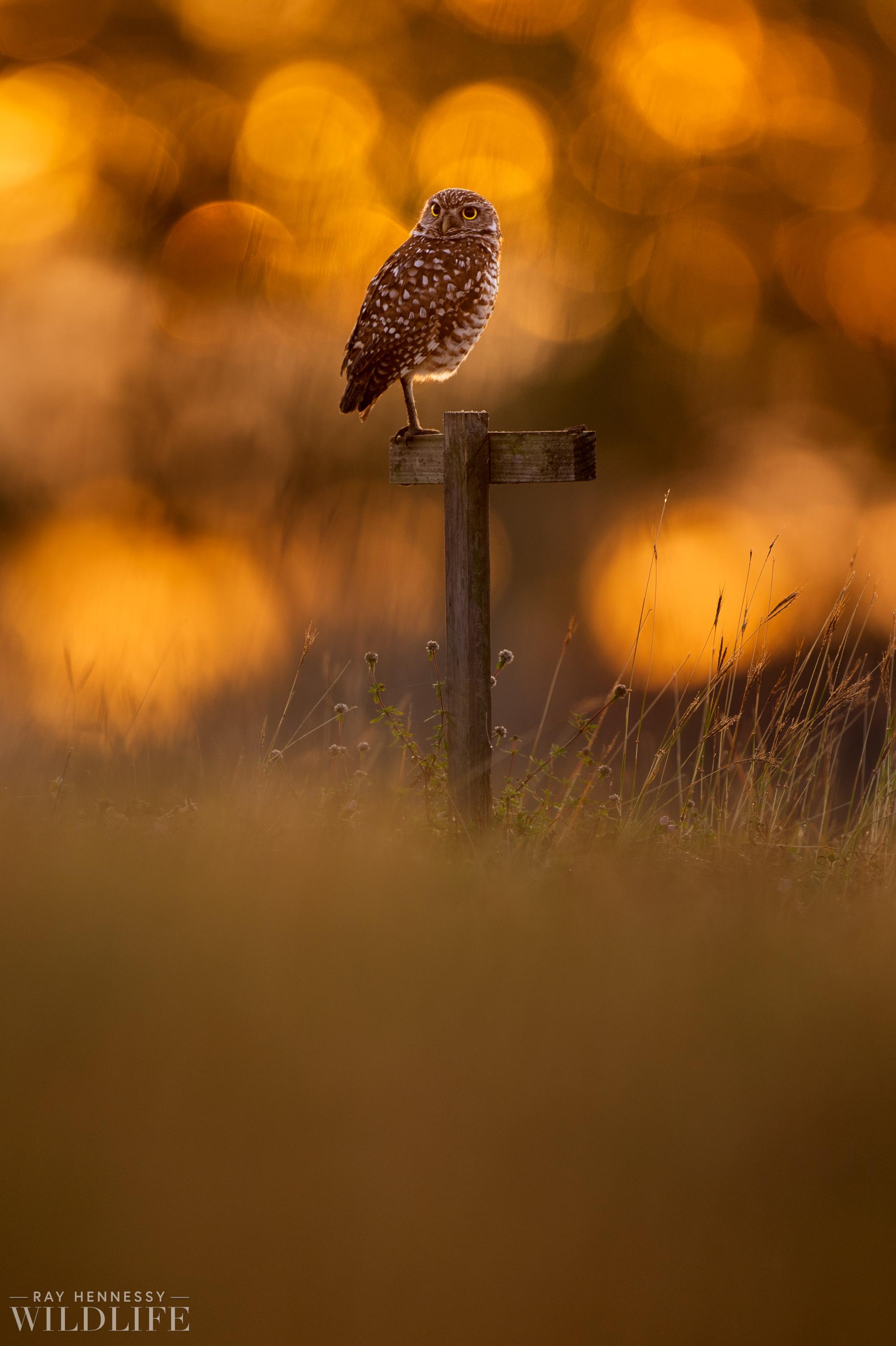 002_burrowing-owls-blue-heron-florida.jpg