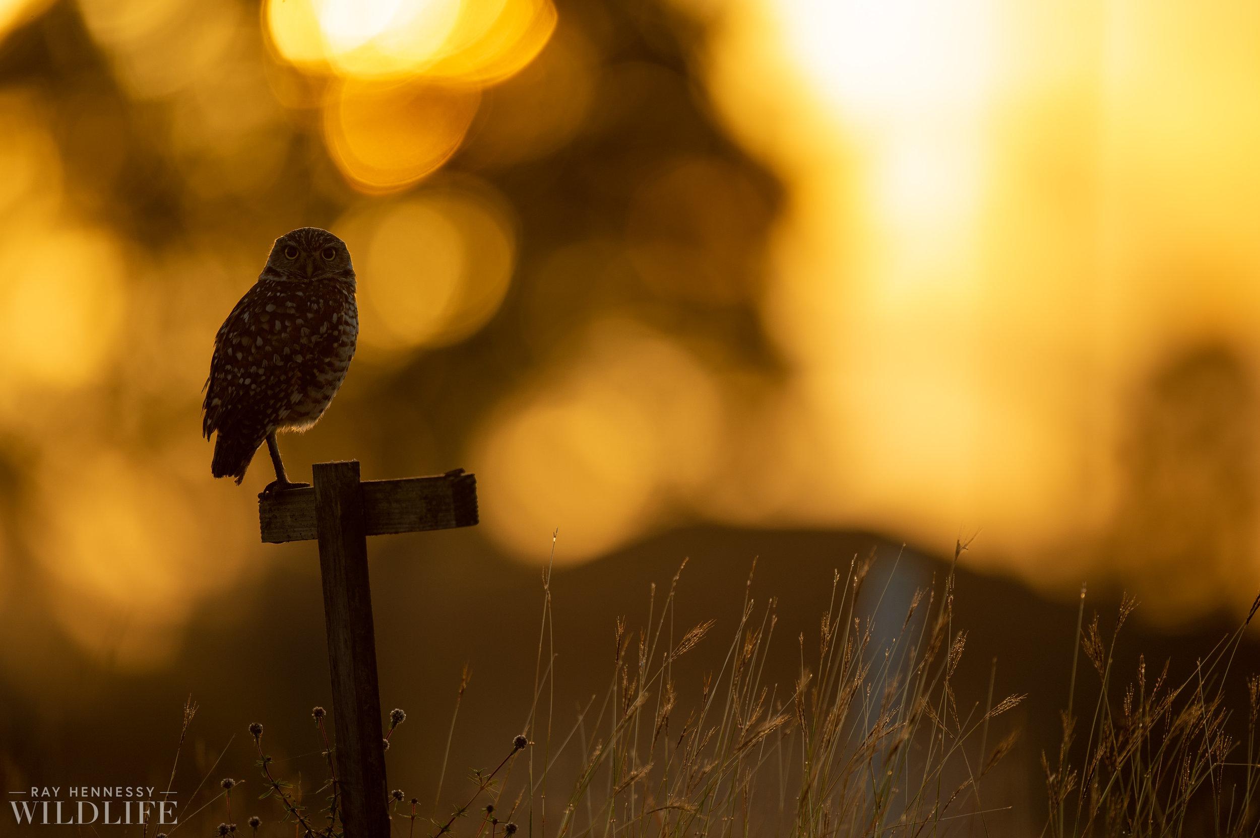 003_burrowing-owls-blue-heron-florida.jpg