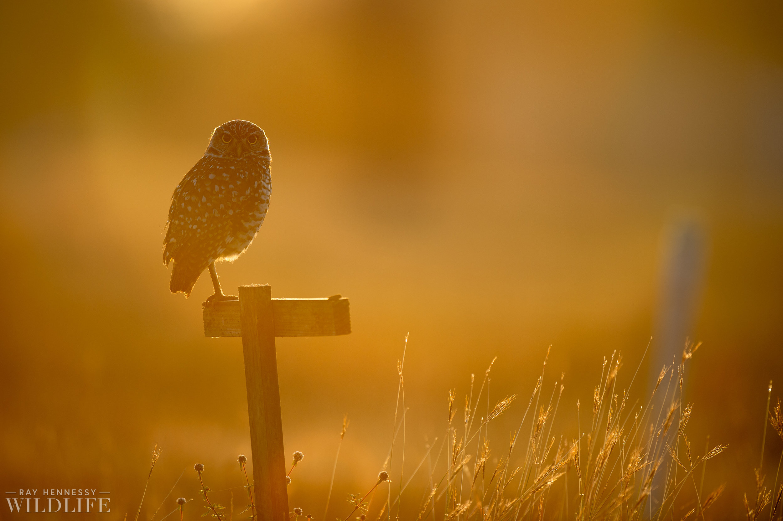 004_burrowing-owls-blue-heron-florida.jpg