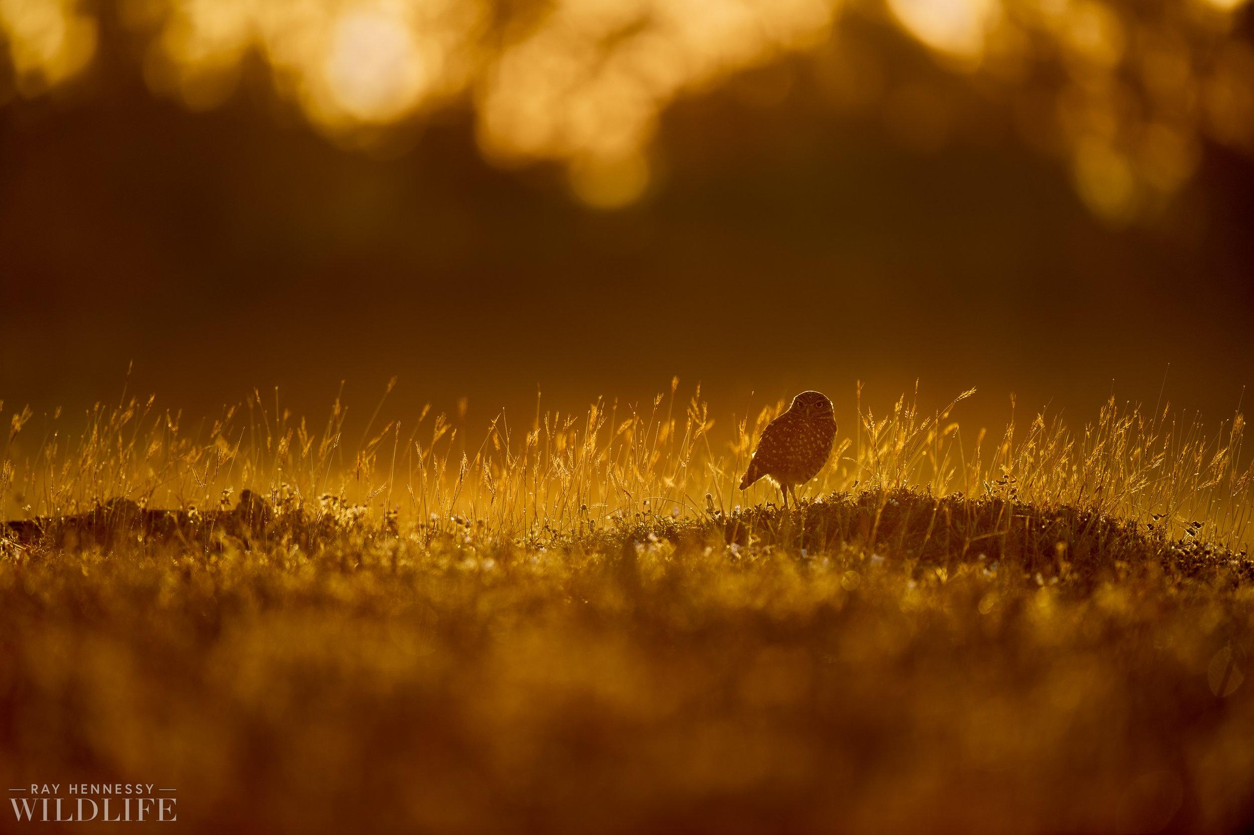 006_burrowing-owls-blue-heron-florida.jpg