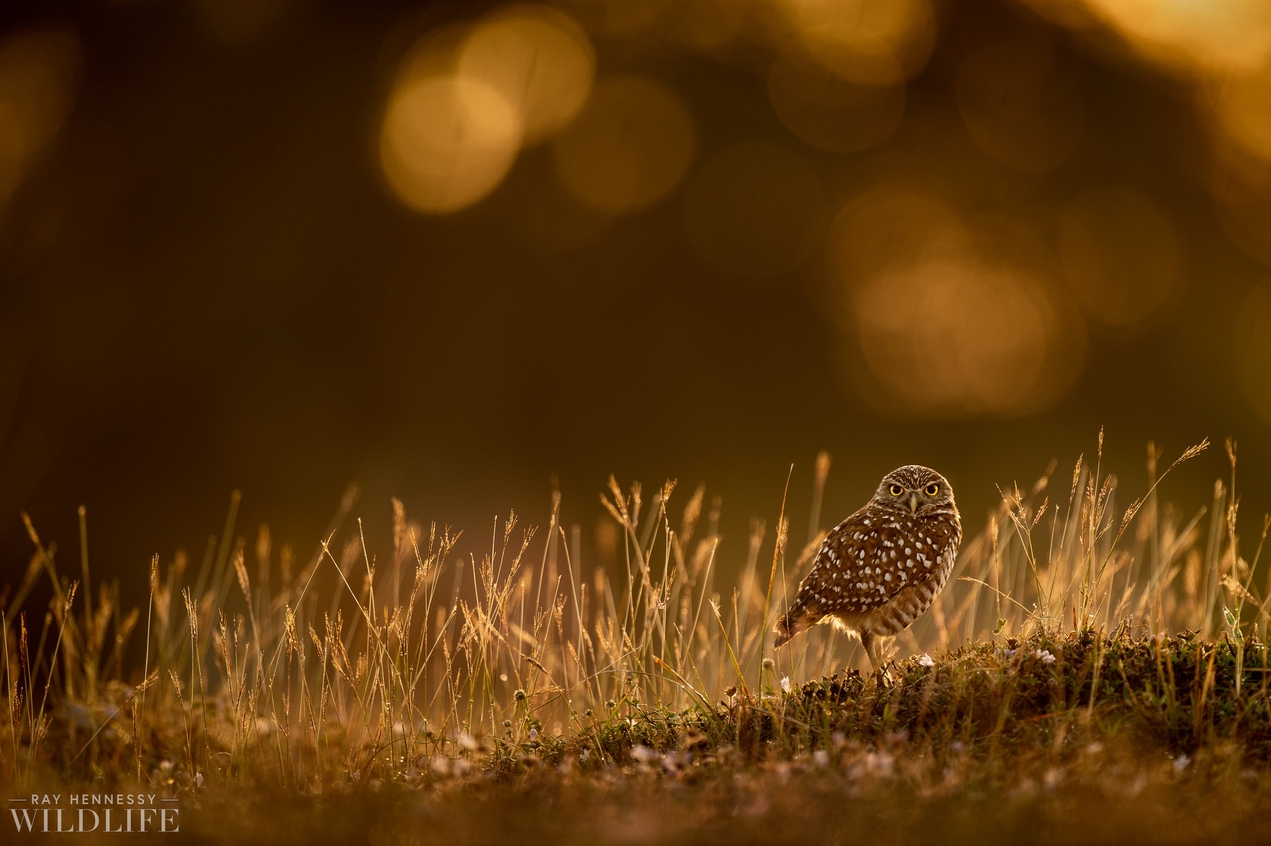 007_burrowing-owls-blue-heron-florida.jpg