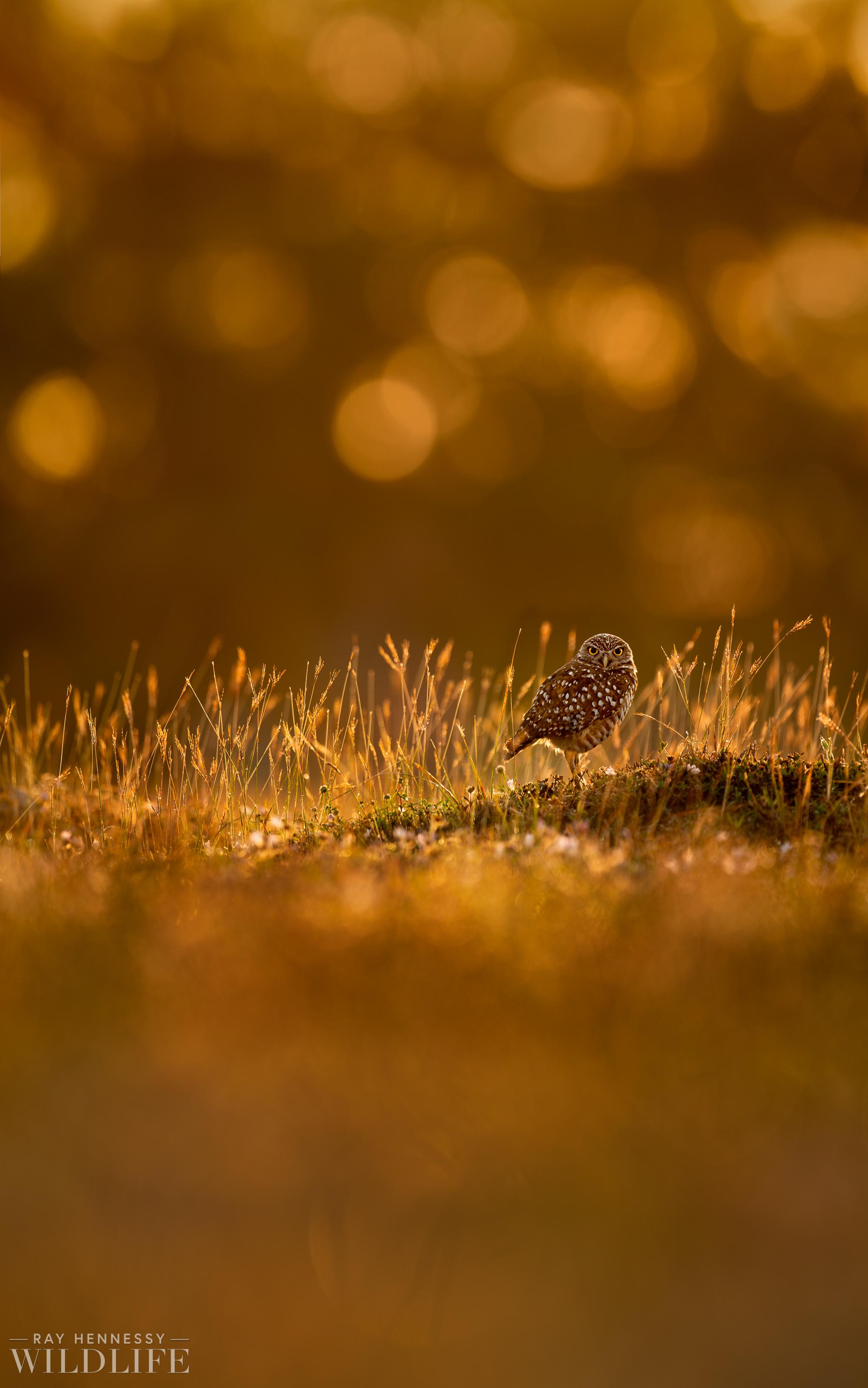 008_burrowing-owls-blue-heron-florida.jpg