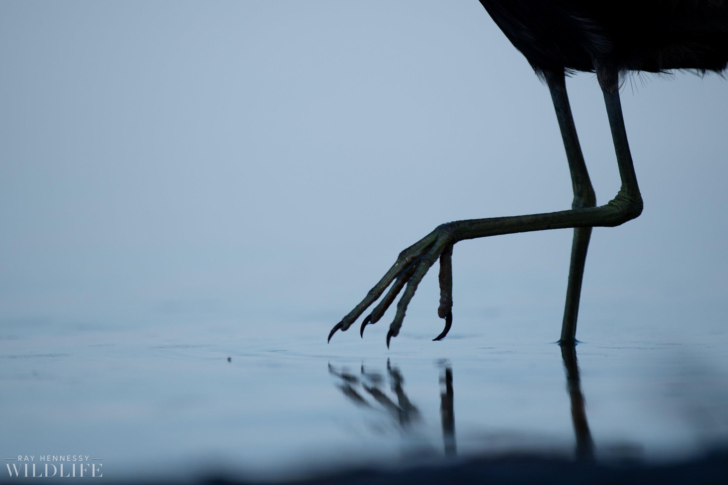 010_burrowing-owls-blue-heron-florida.jpg
