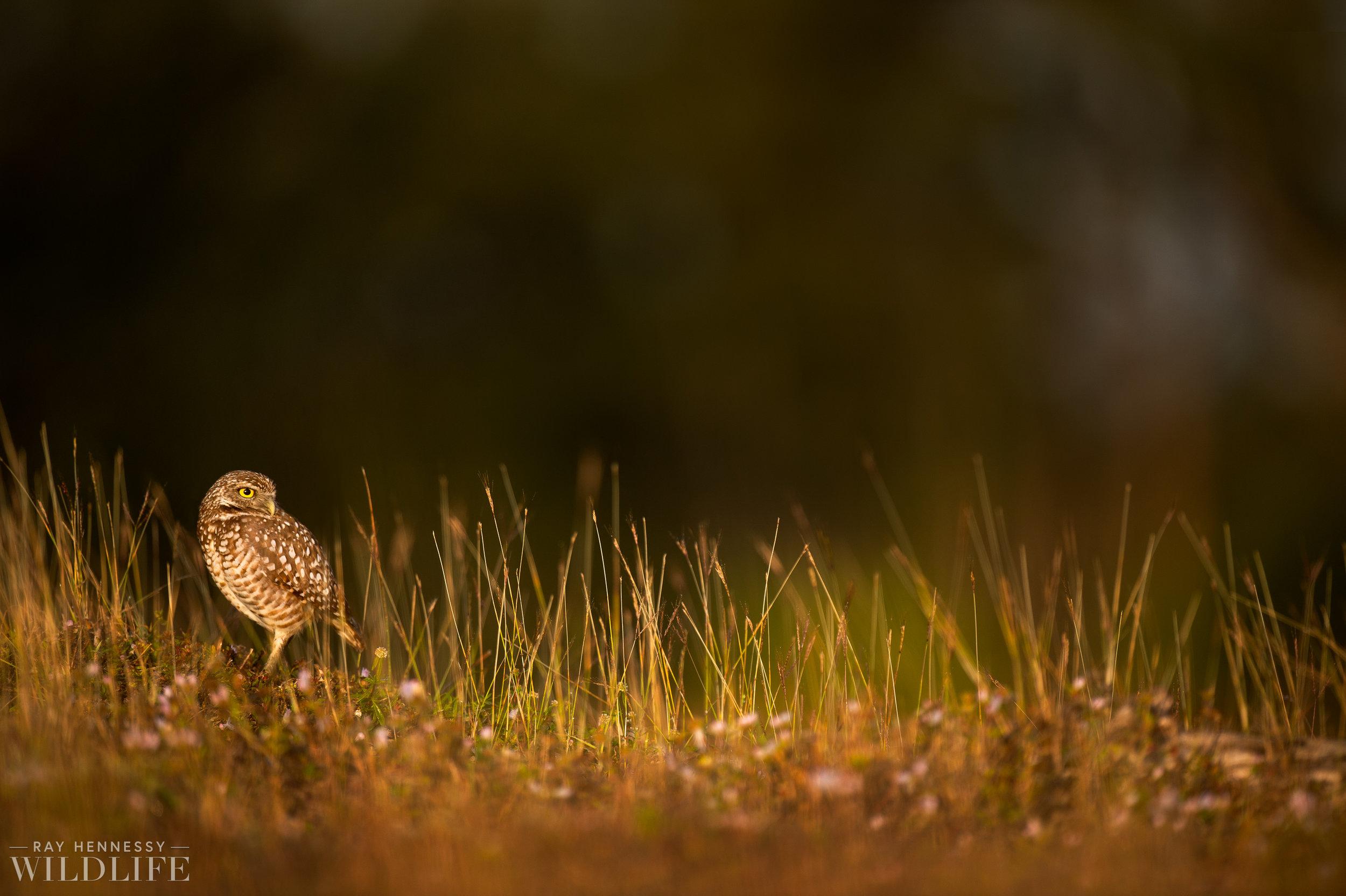 009_burrowing-owls-blue-heron-florida.jpg