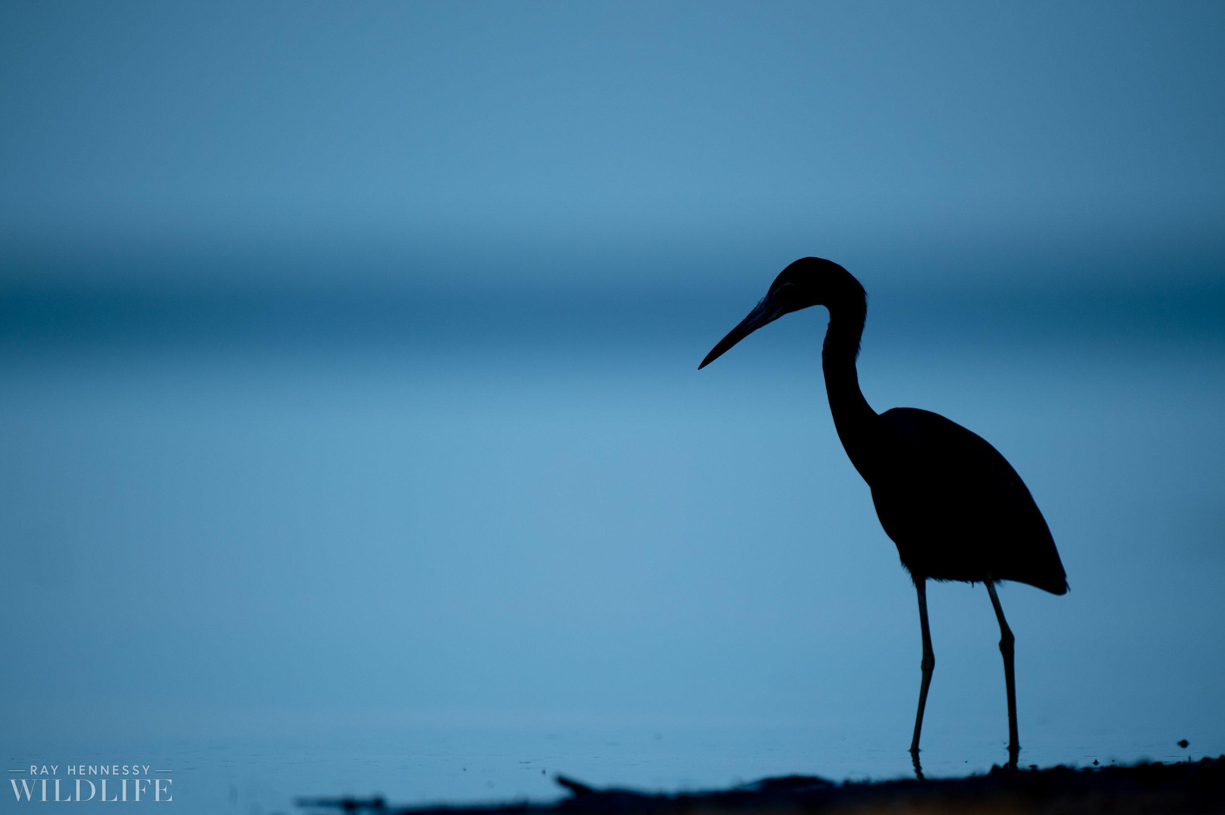 012_burrowing-owls-blue-heron-florida.jpg
