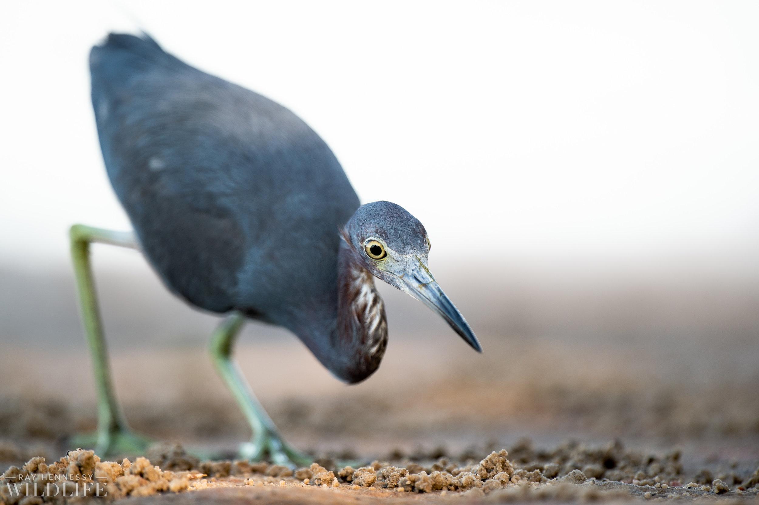013_burrowing-owls-blue-heron-florida.jpg