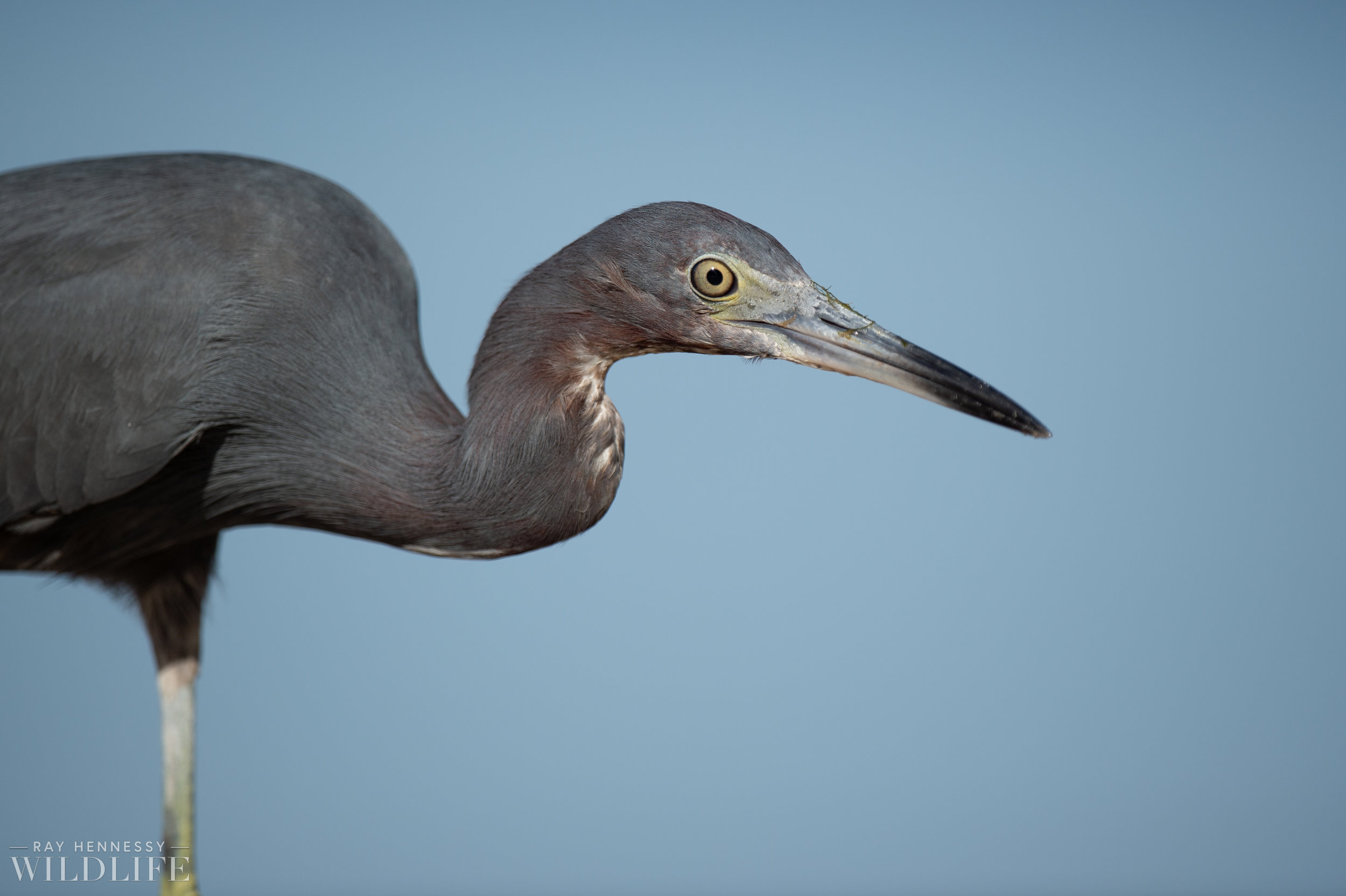 014_burrowing-owls-blue-heron-florida.jpg