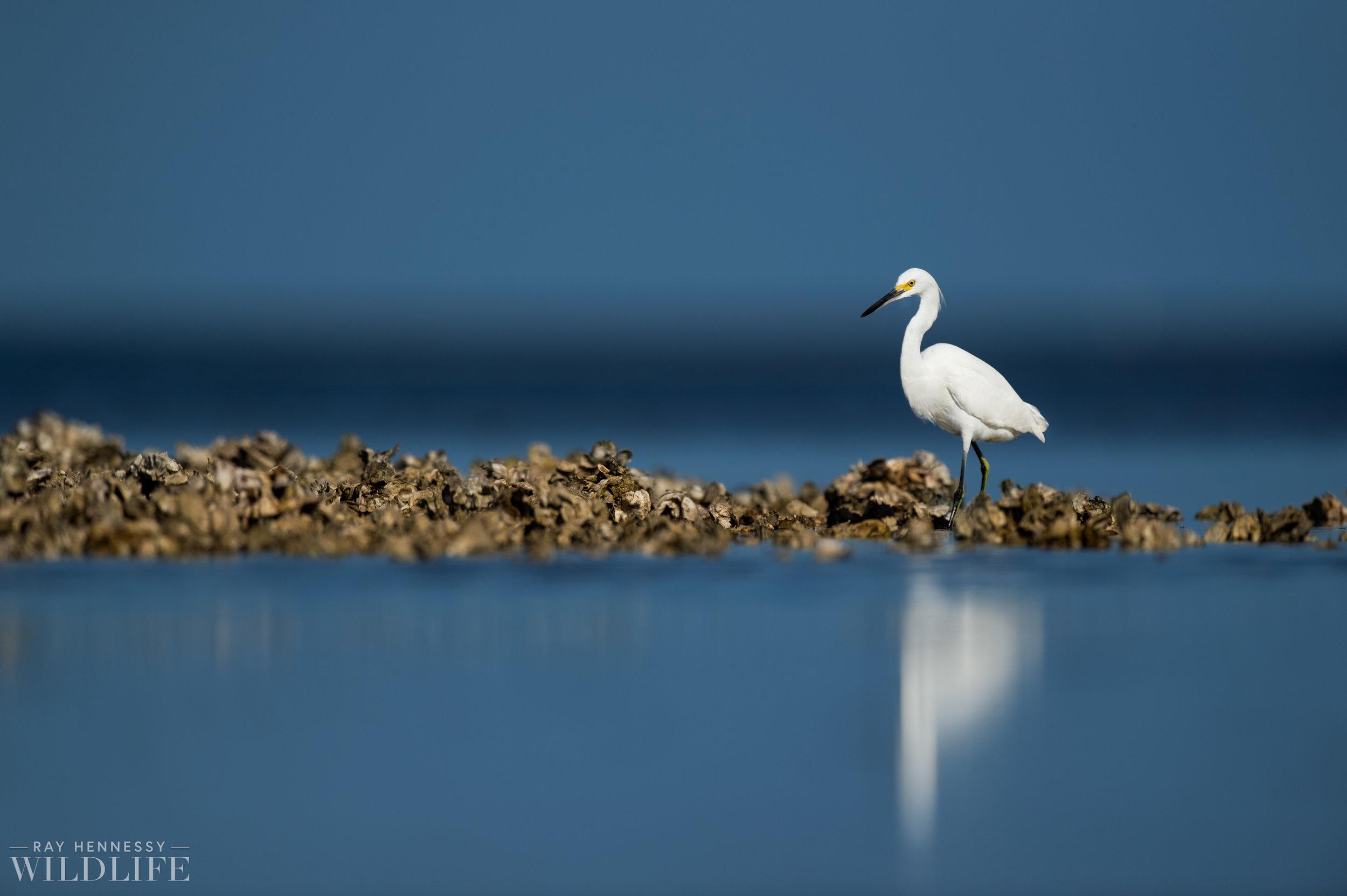 015_burrowing-owls-blue-heron-florida.jpg