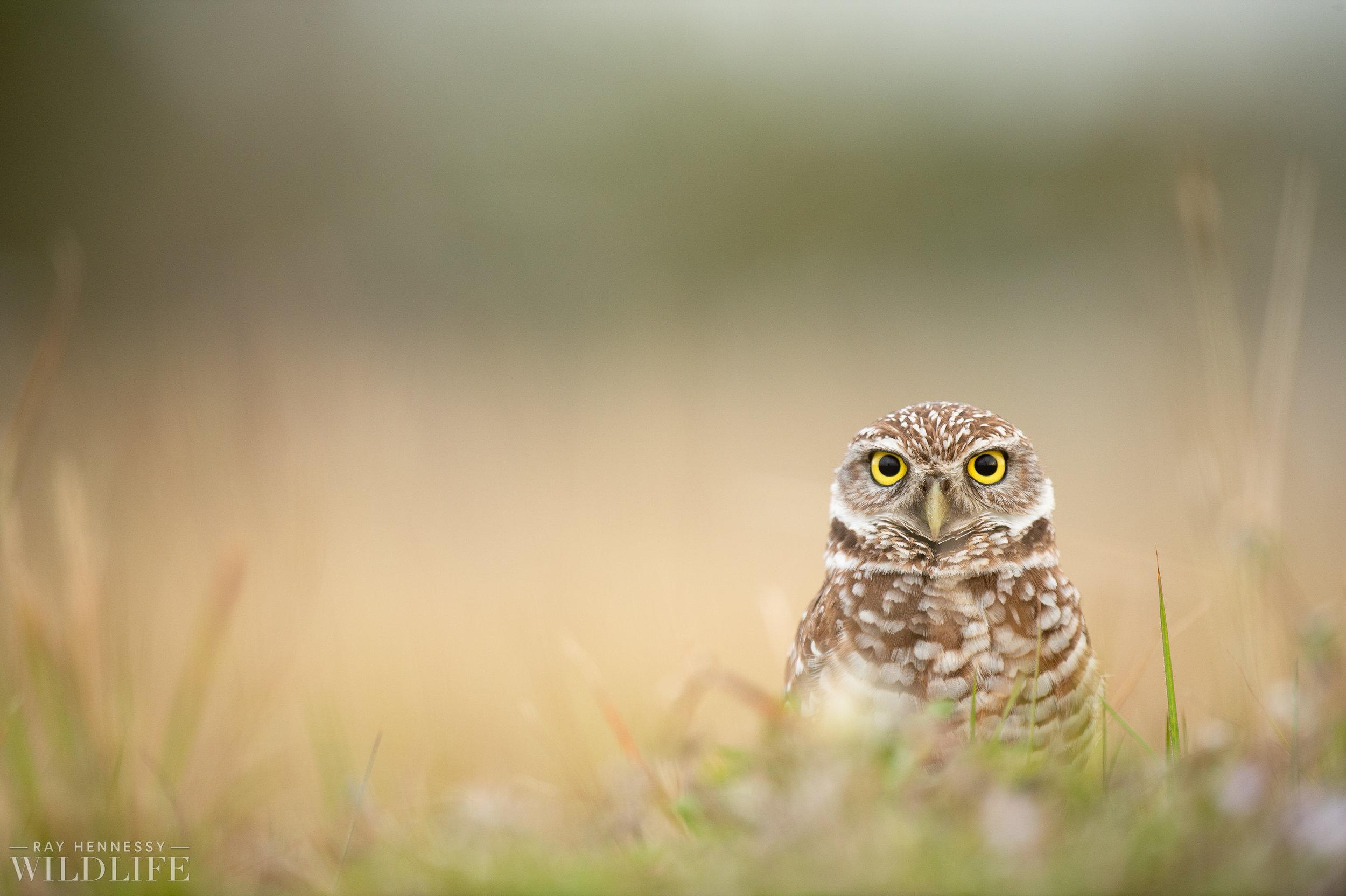 016_burrowing-owls-blue-heron-florida.jpg