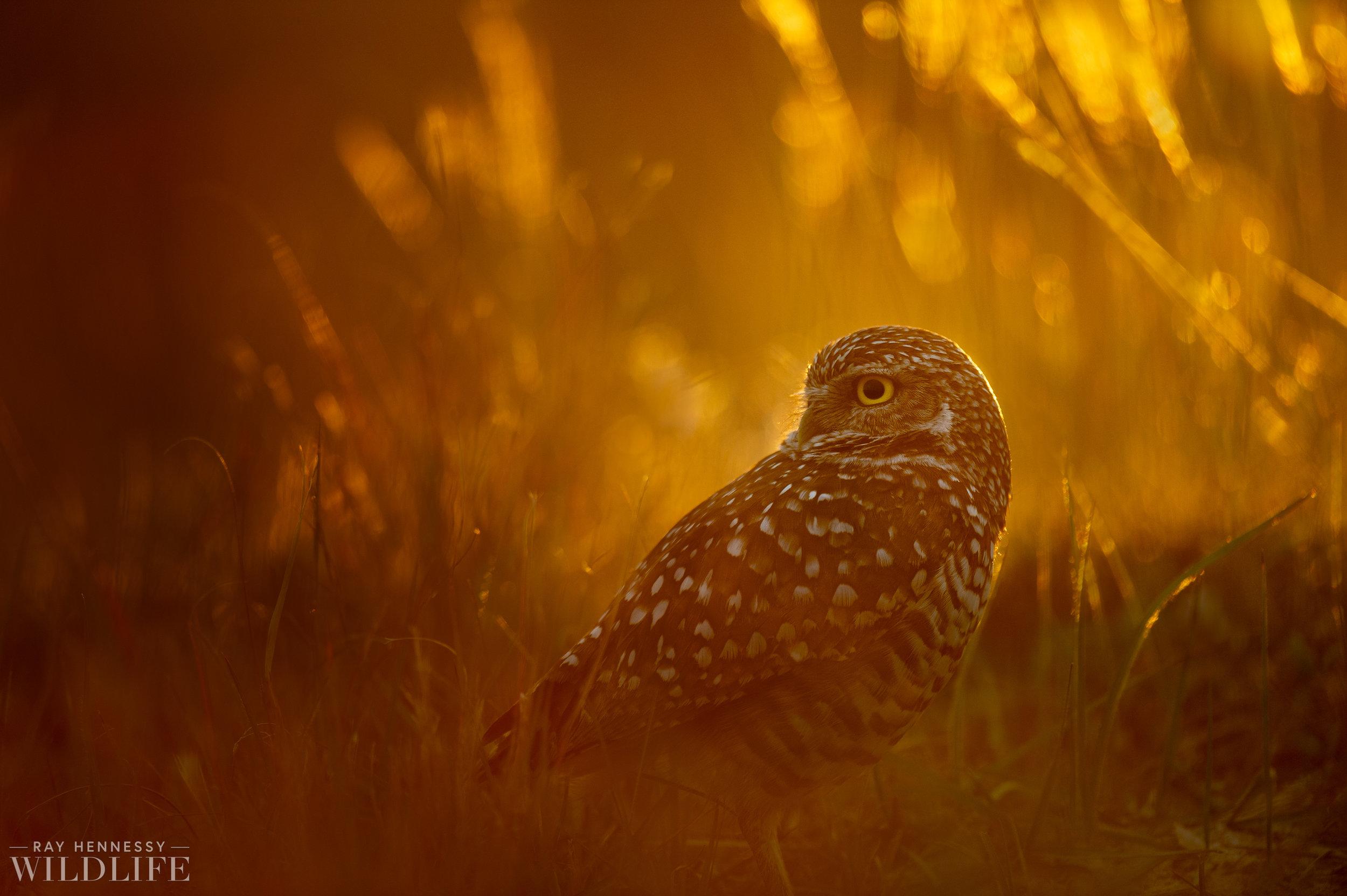 017_burrowing-owls-blue-heron-florida.jpg
