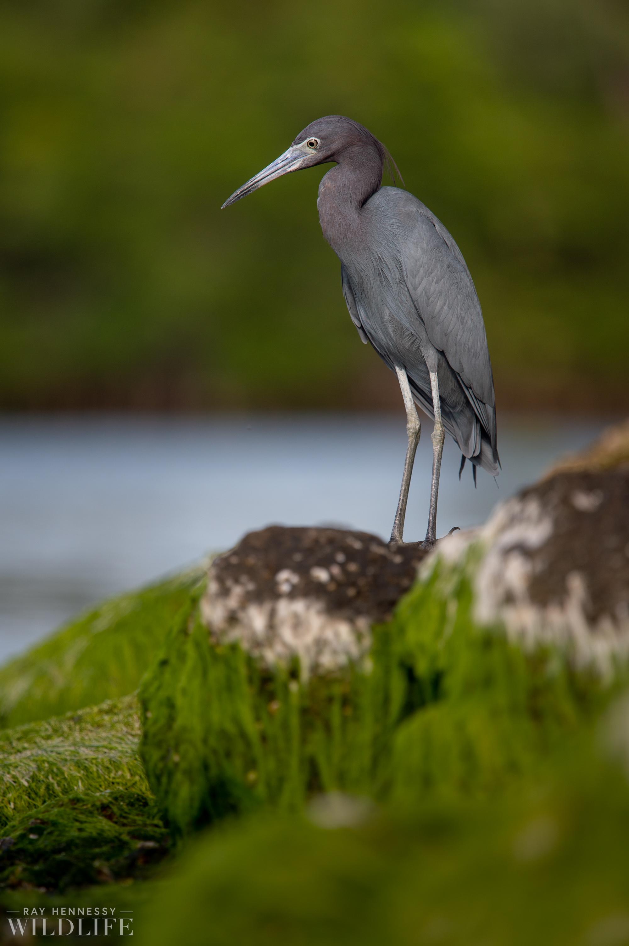 002_little-blue-heron.jpg