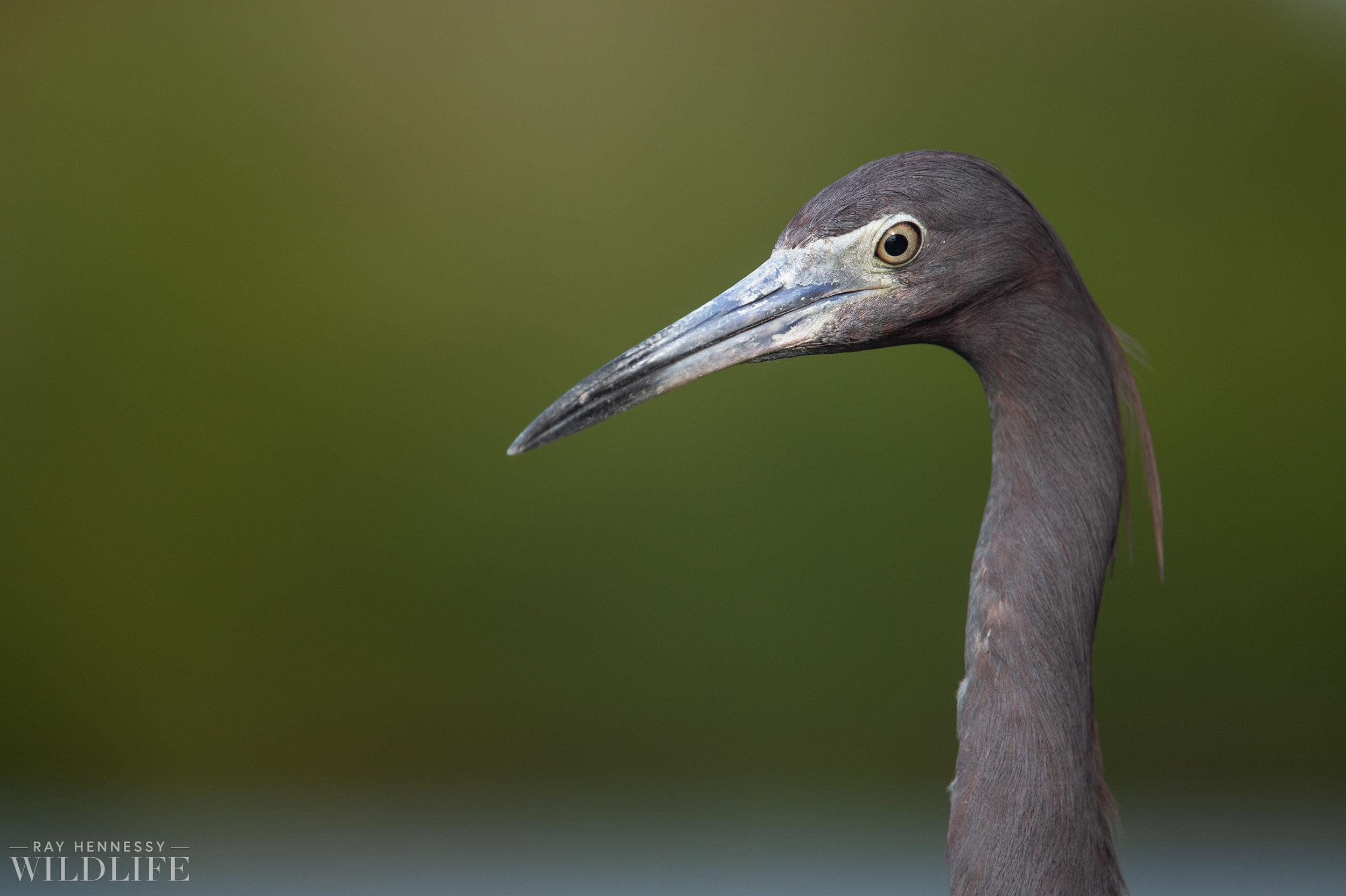 003_little-blue-heron.jpg
