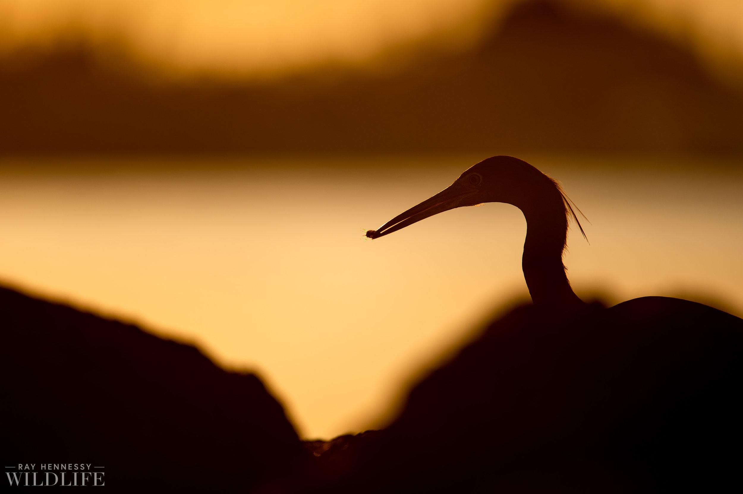005_little-blue-heron.jpg