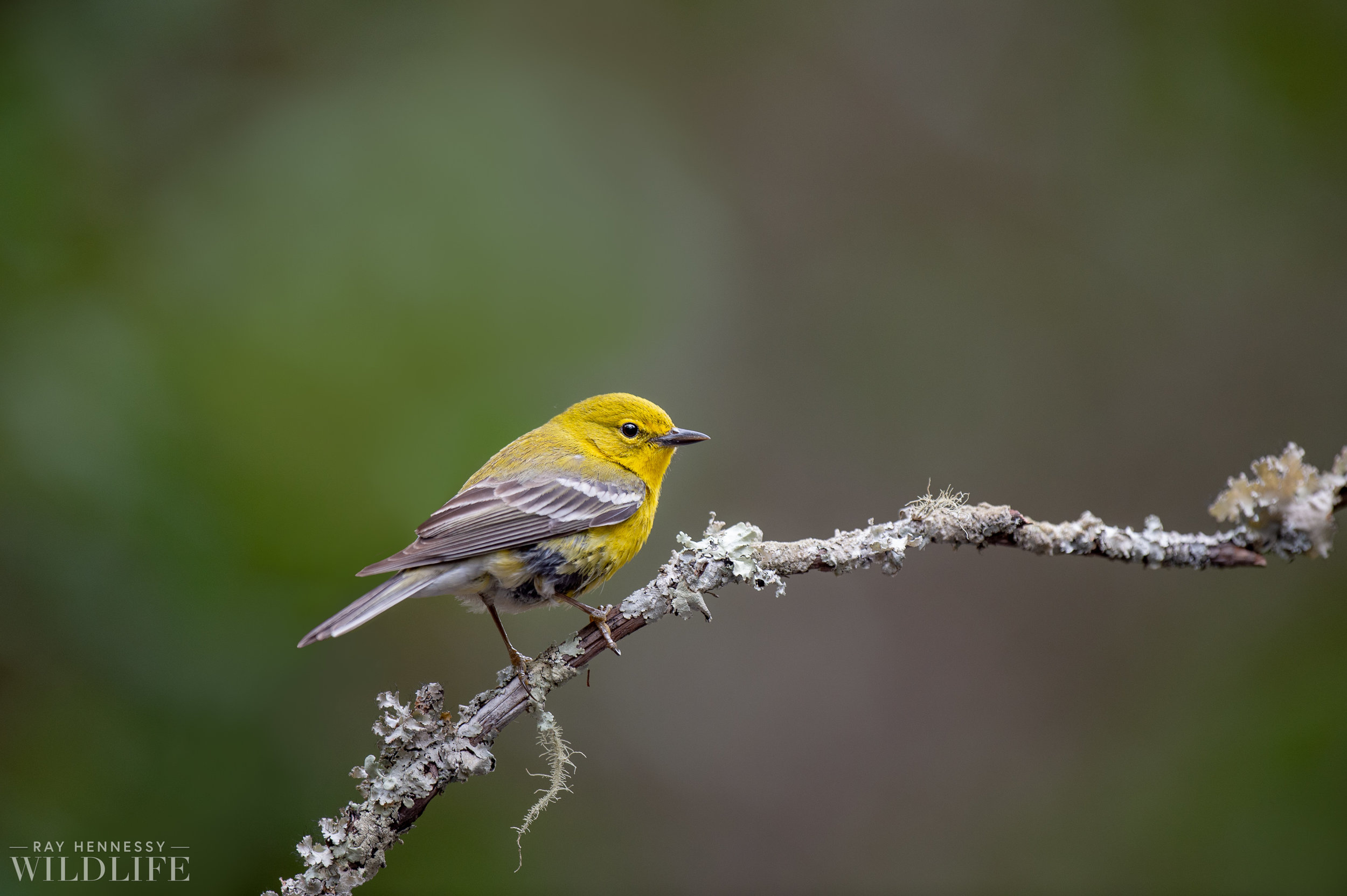 001_pine-warbler.jpg