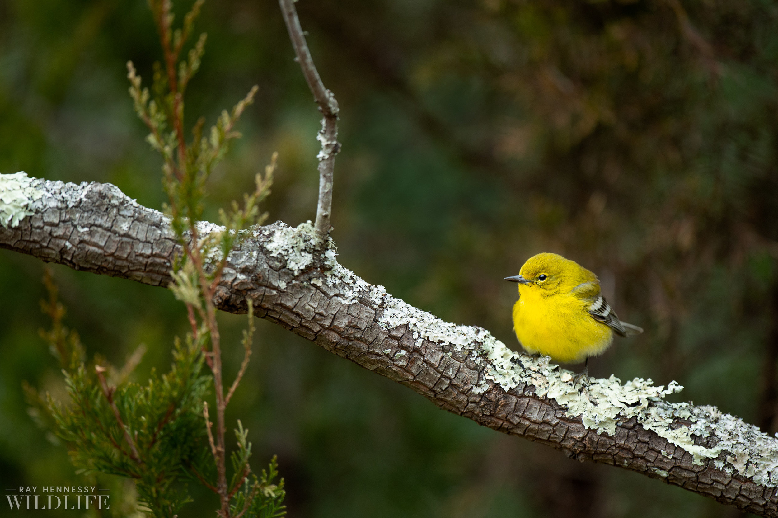 002_pine-warbler.jpg