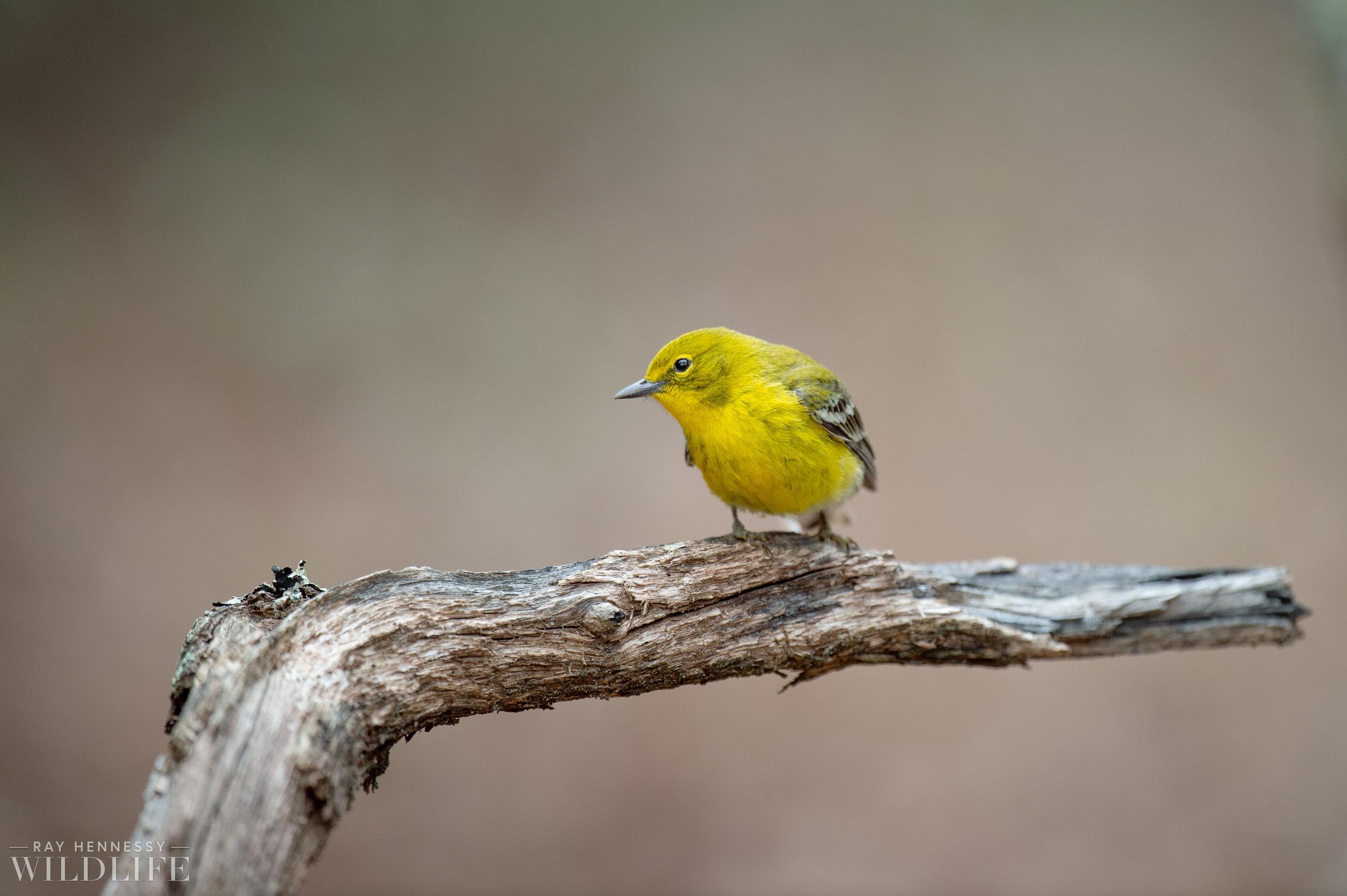 003_pine-warbler.jpg