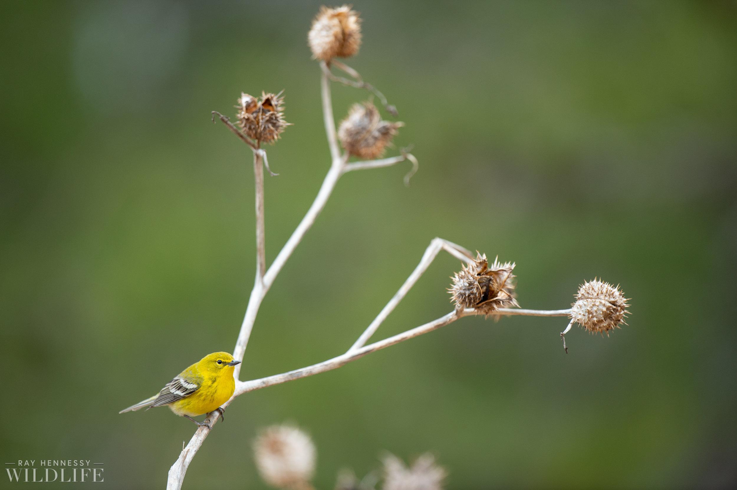 004_pine-warbler.jpg