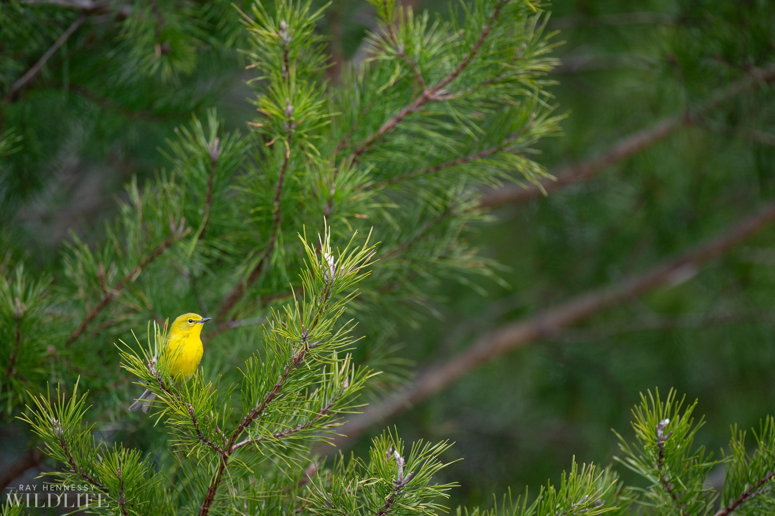005_pine-warbler.jpg