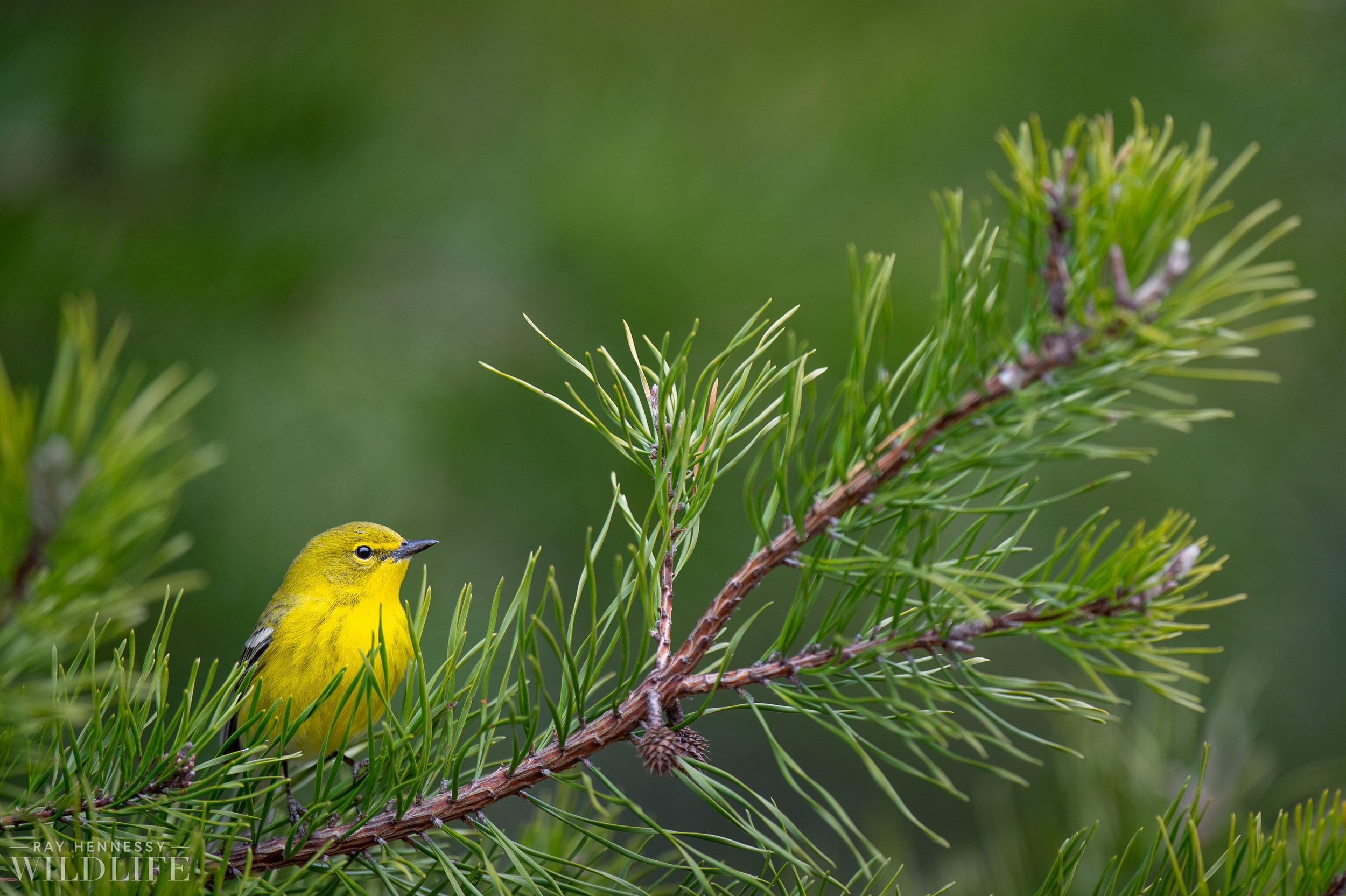 006_pine-warbler.jpg