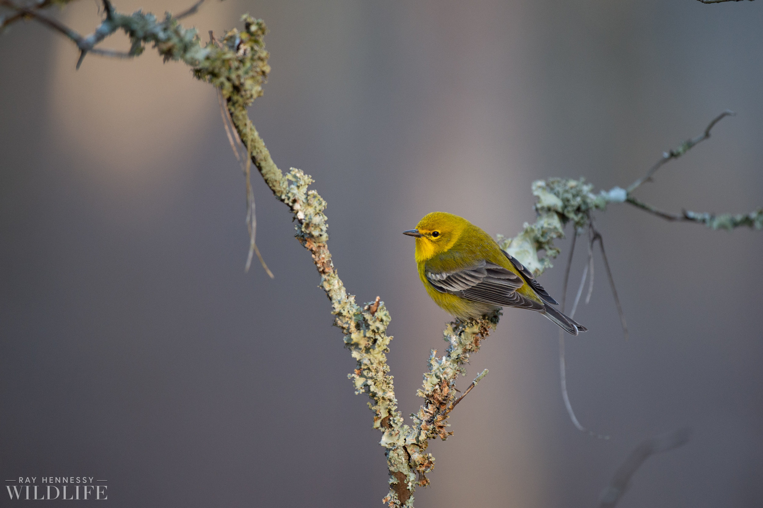 007_pine-warbler.jpg