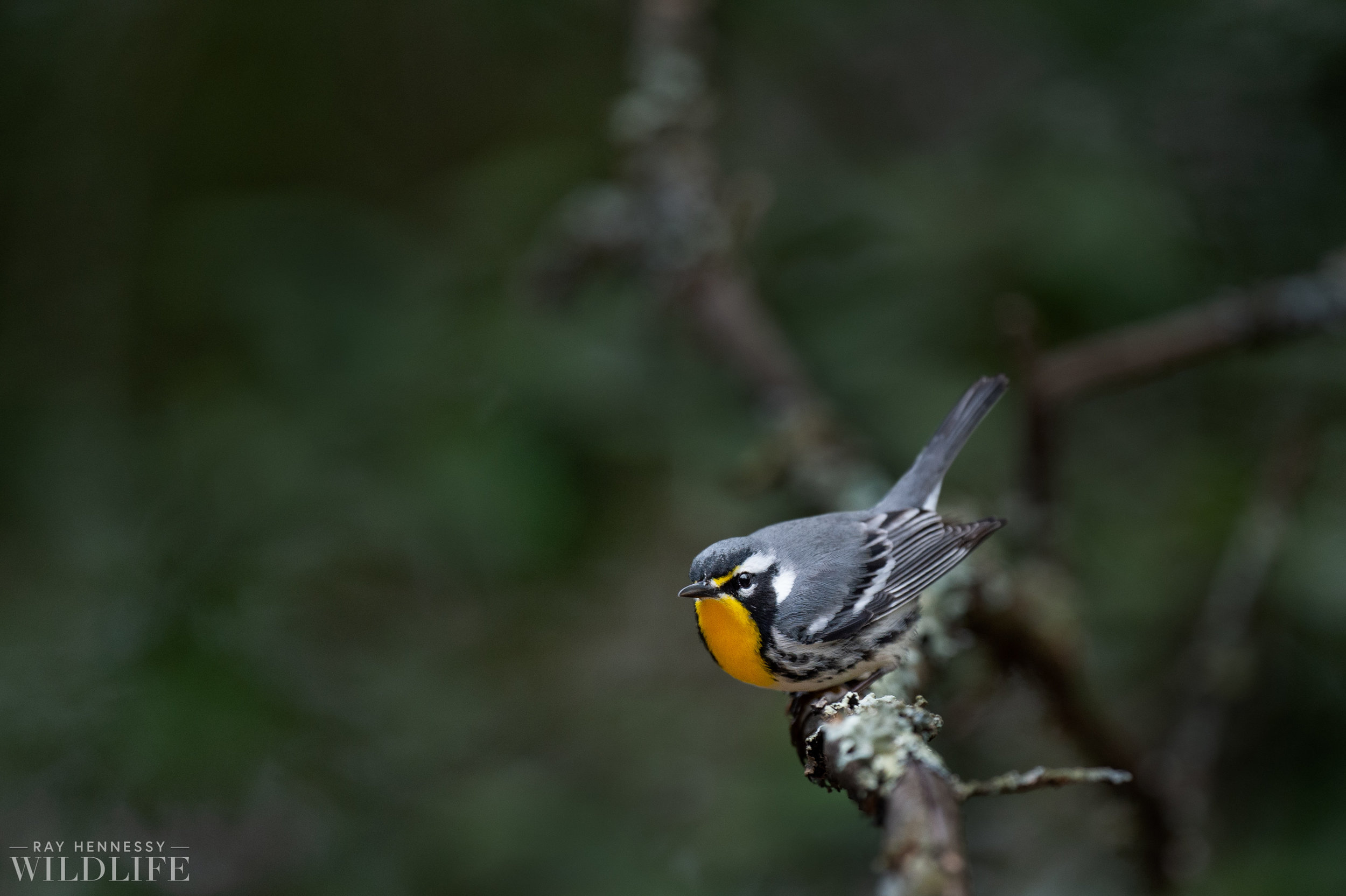 002_pine-and-yellow-throated-warbler.jpg